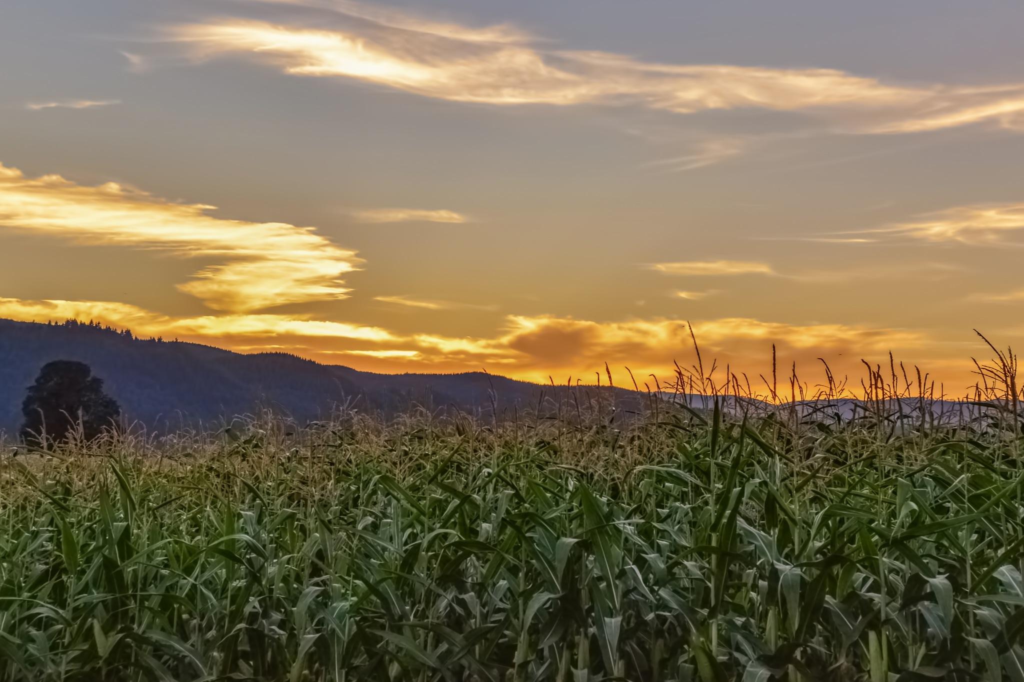 Corn Field by karmel