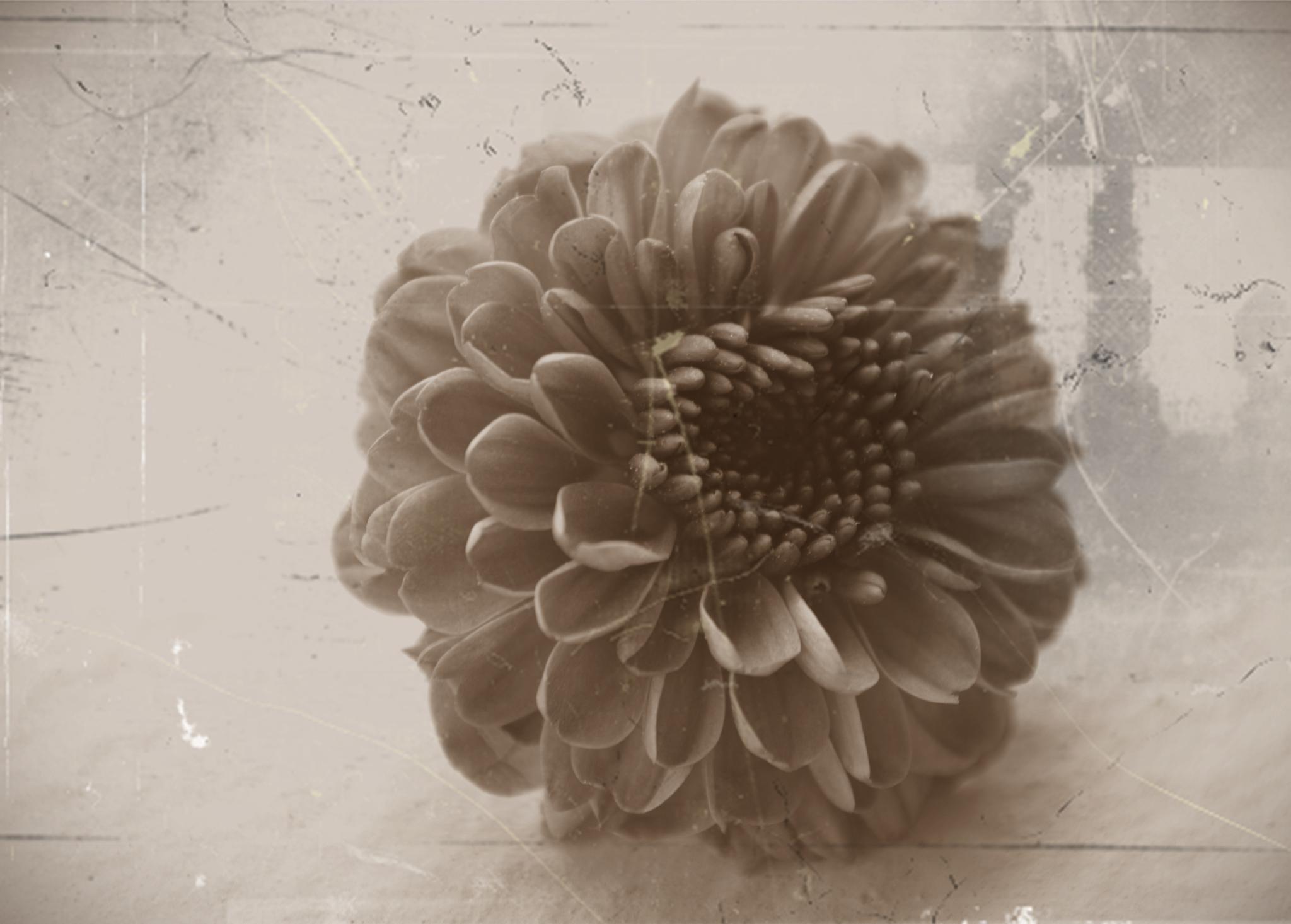 Daisy by karmel