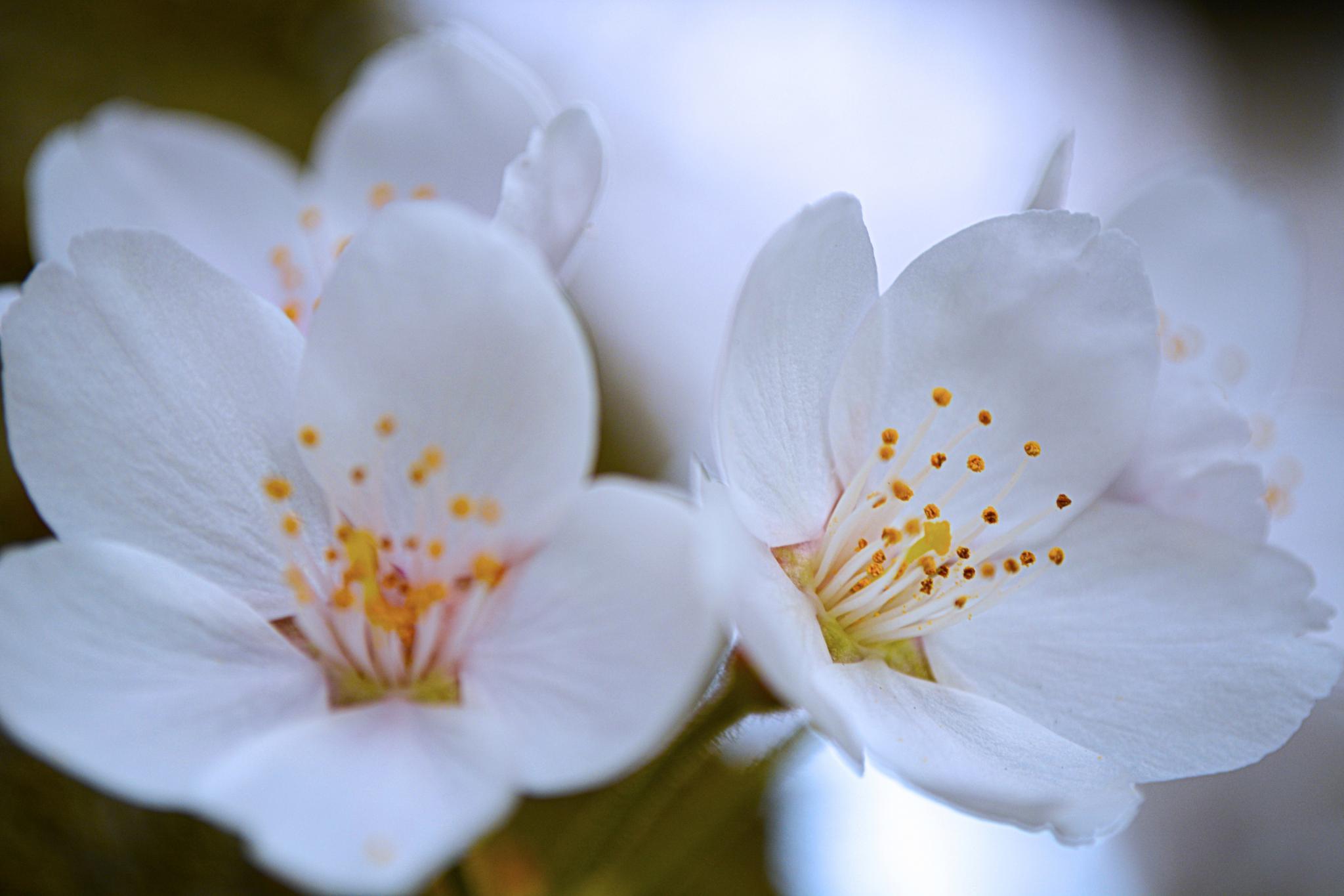 Spring Blossoms by karmel