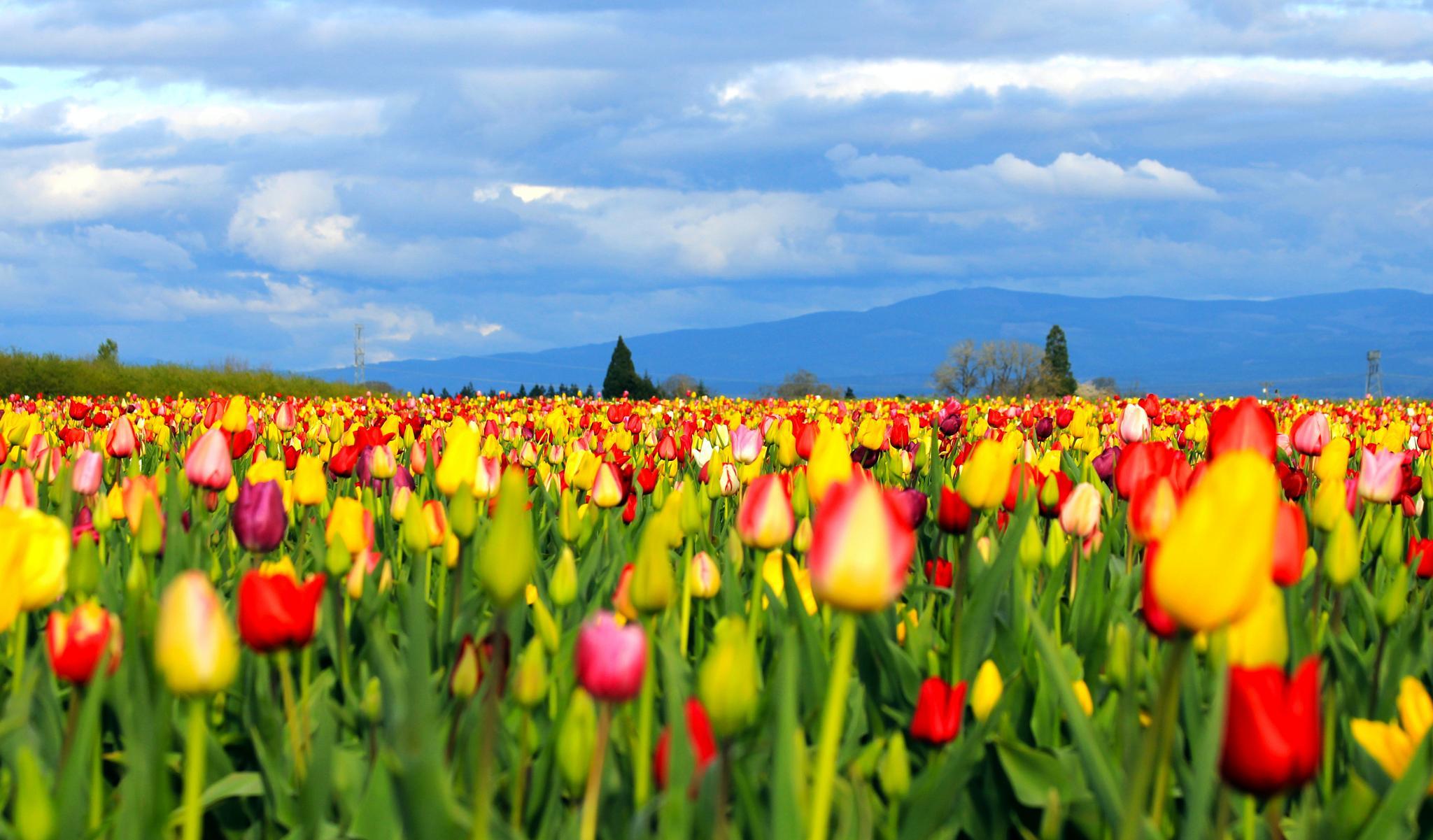 Tulip Field by karmel