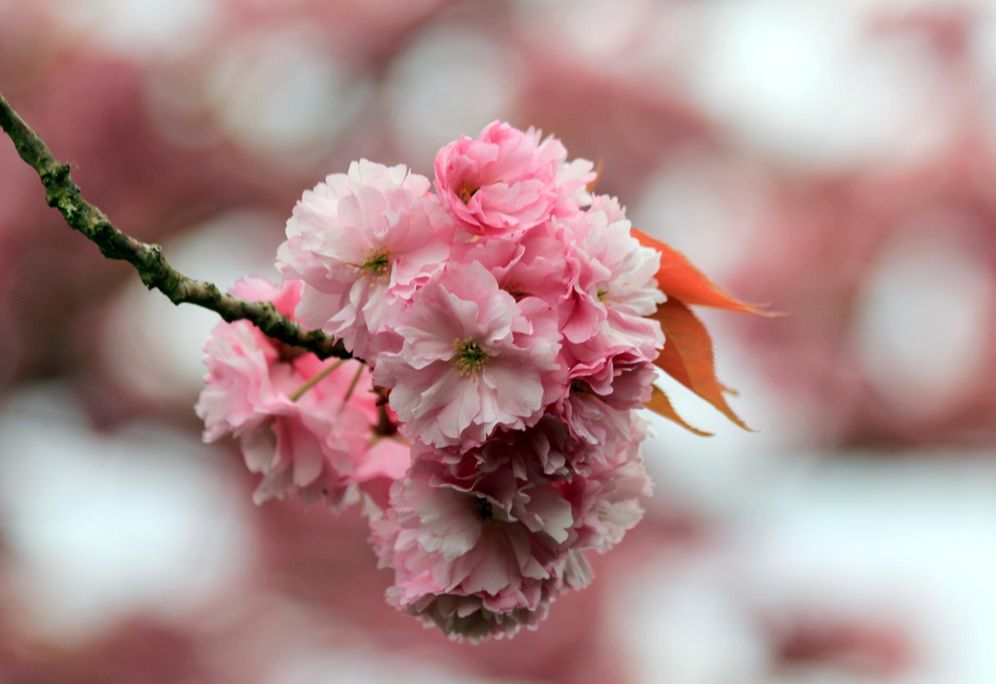 Pink Spring by karmel