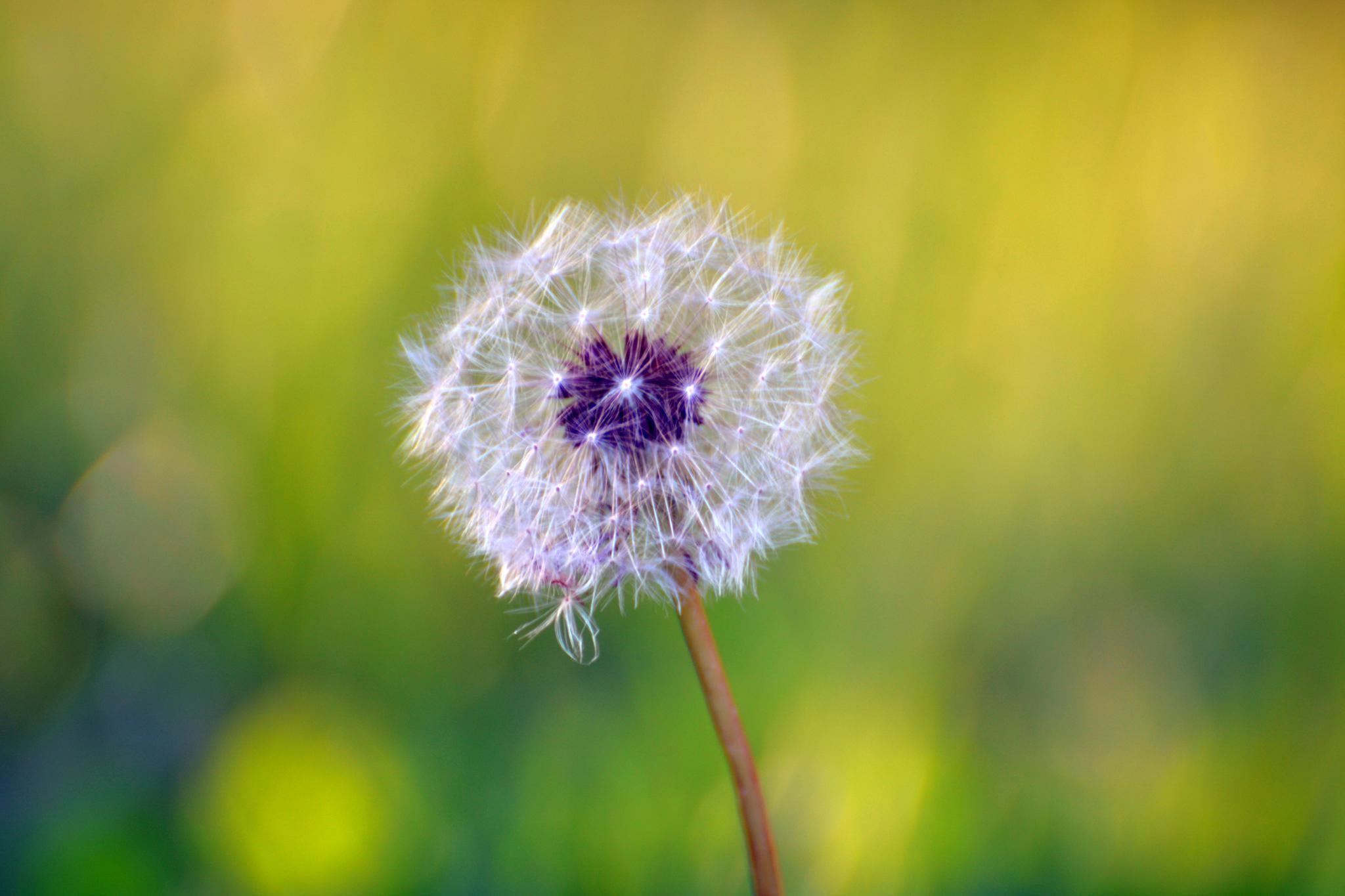 Photo in Macro #taraxacum #dandelion #flower #dry_flower #nature #spring #dandelion_seed #macro