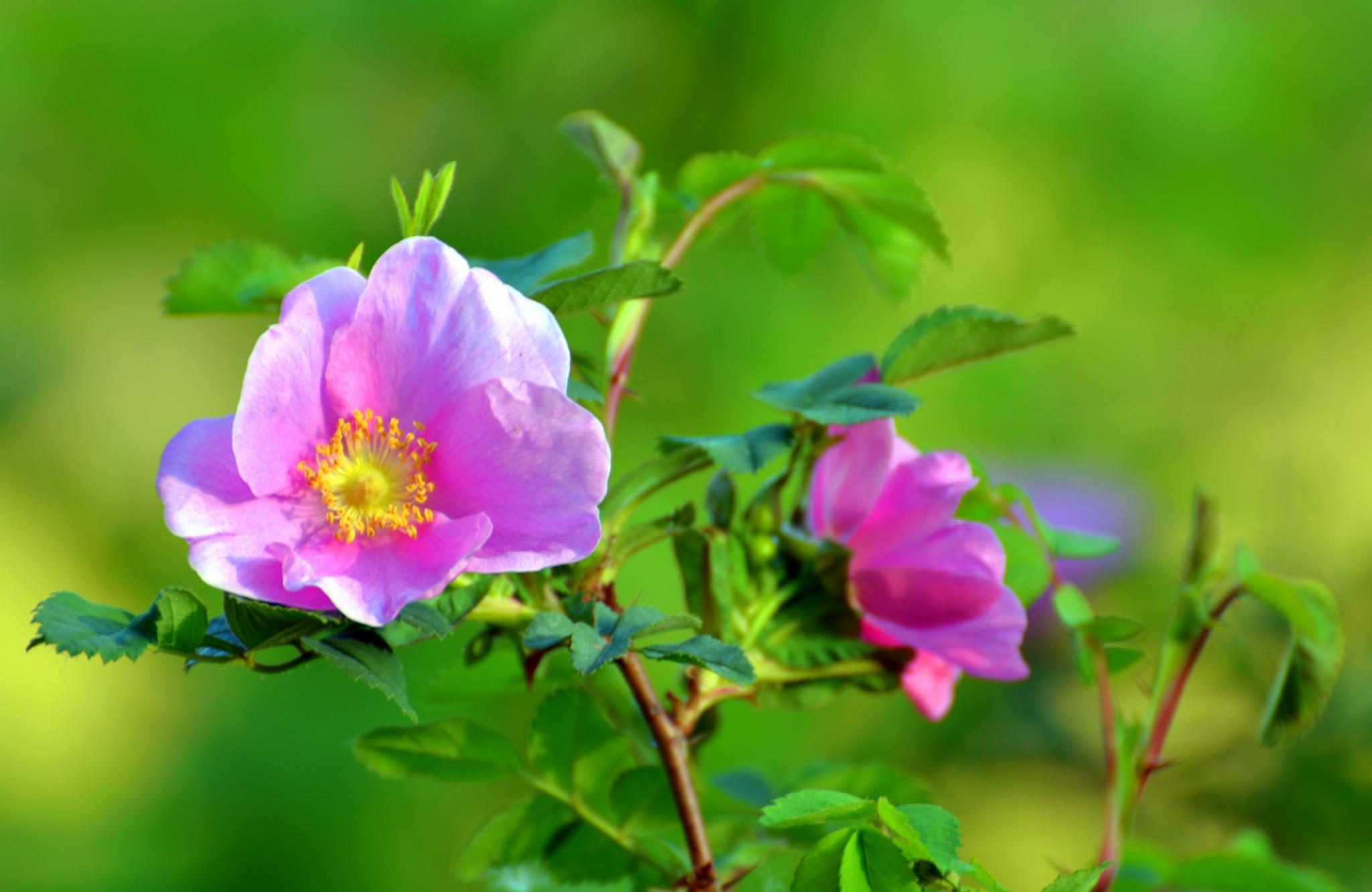 Wild Rose by karmel