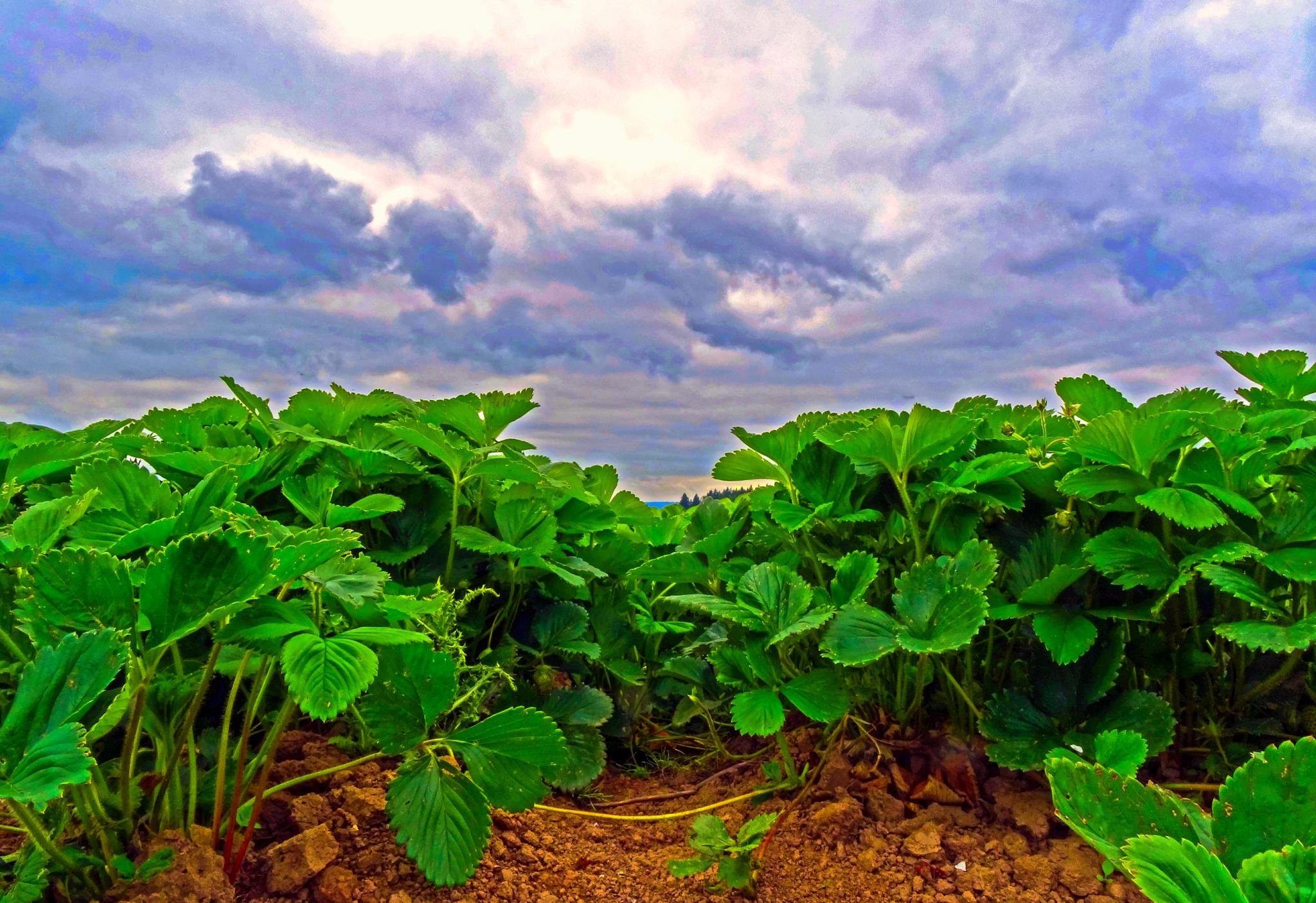 Strawberry Field-3 by karmel