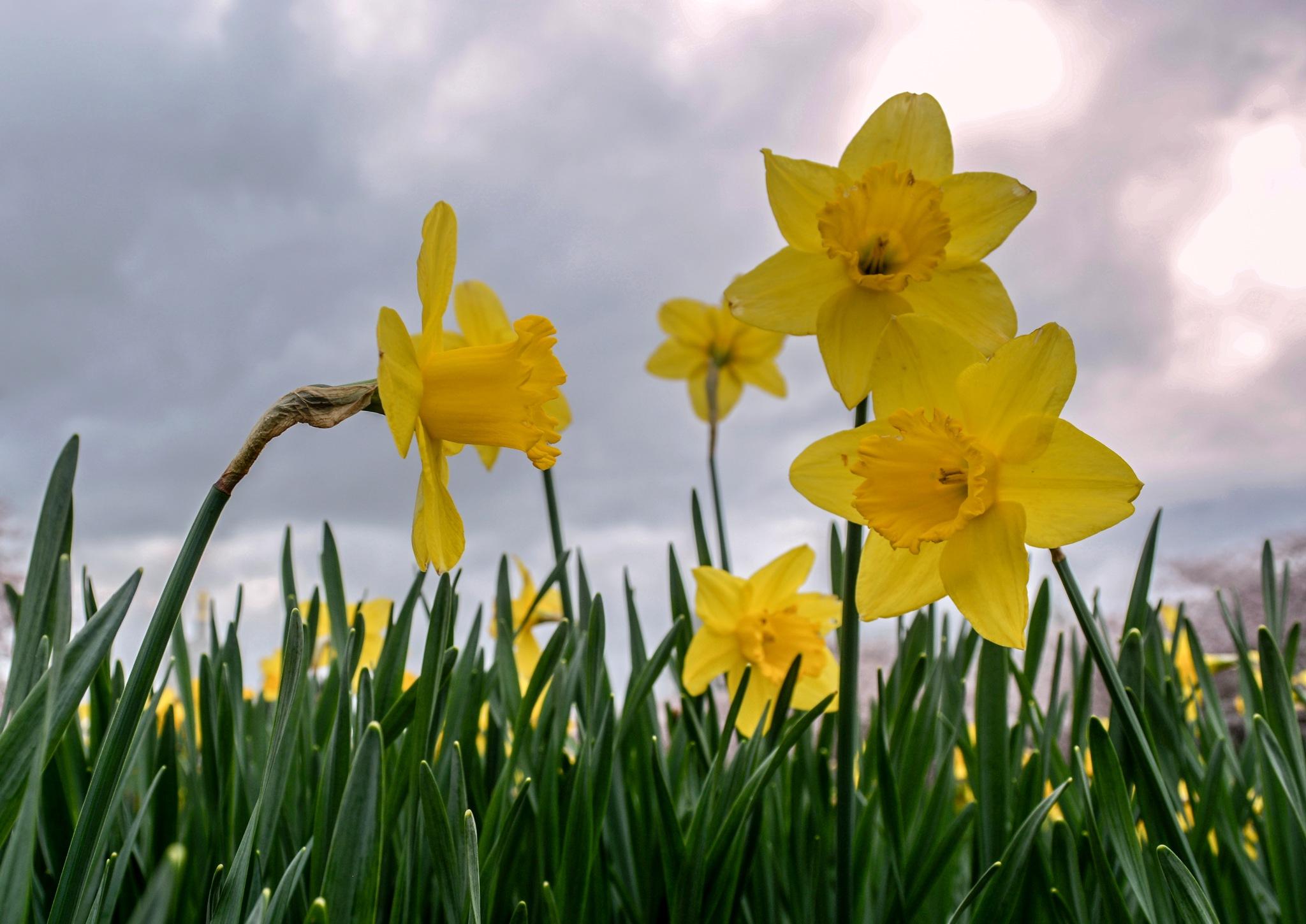 Daffodils by karmel