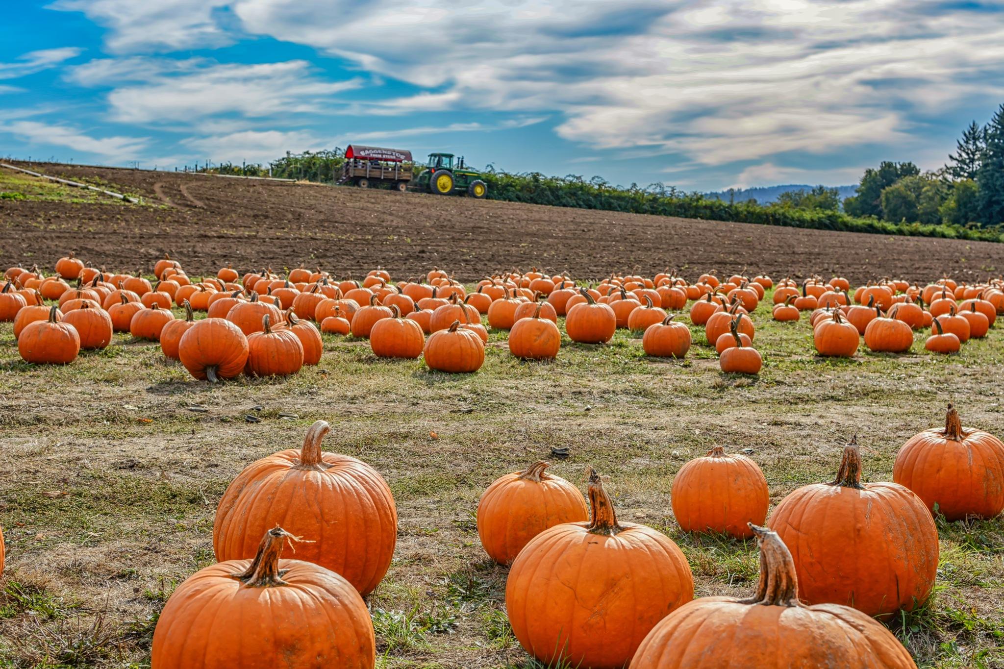 Pumpkins by karmel