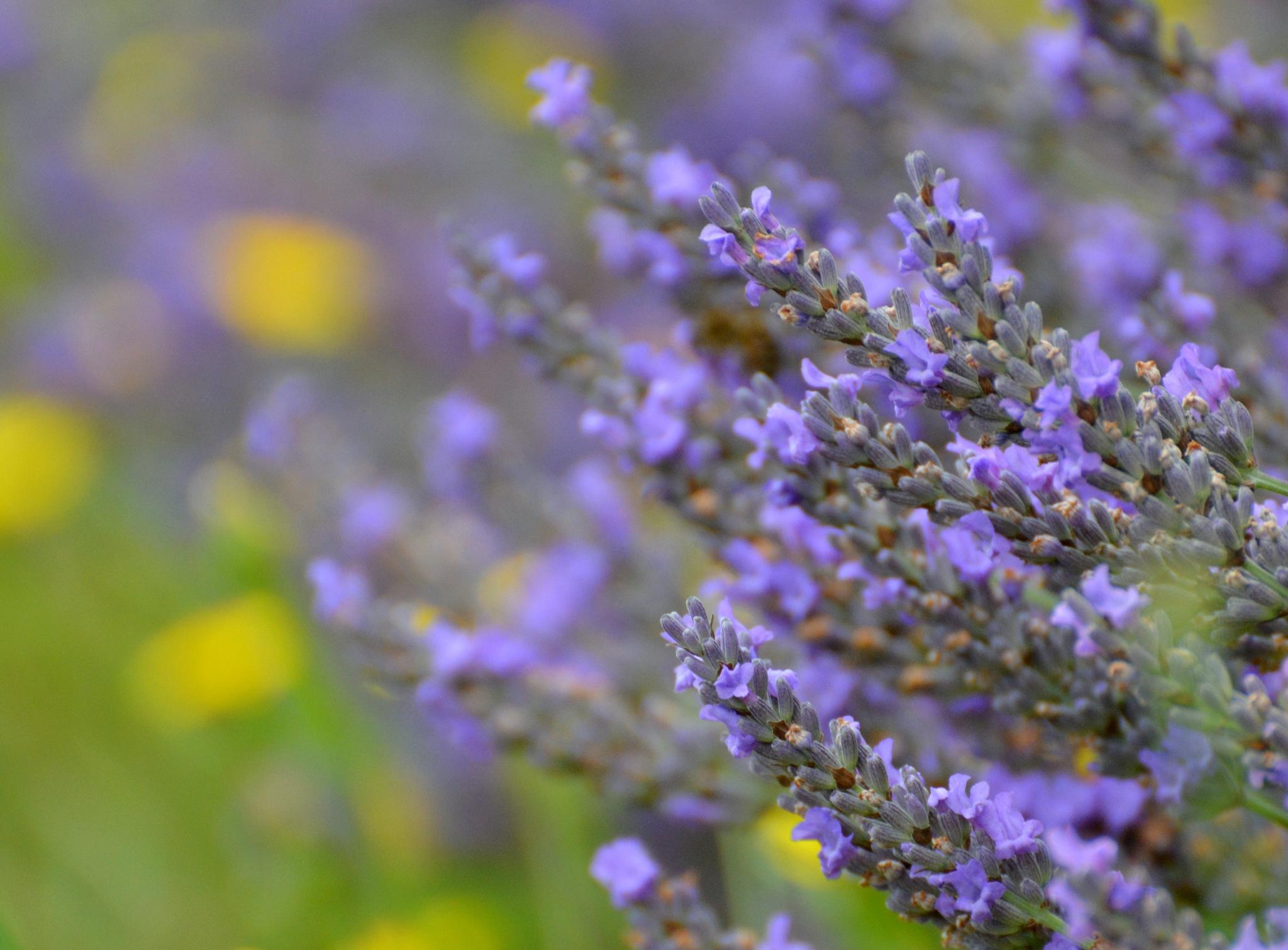 Lavender by karmel
