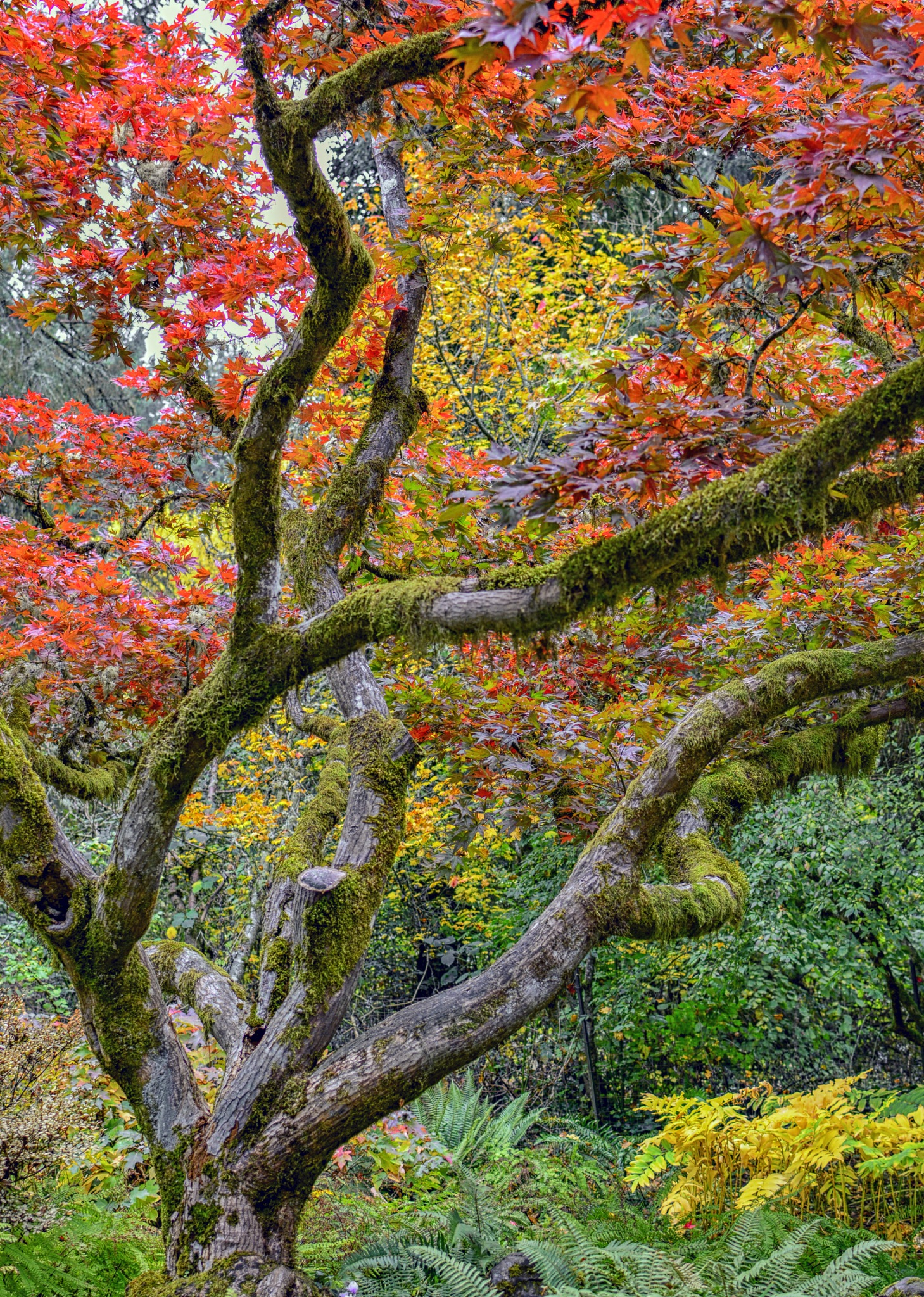 Maple Tree by karmel