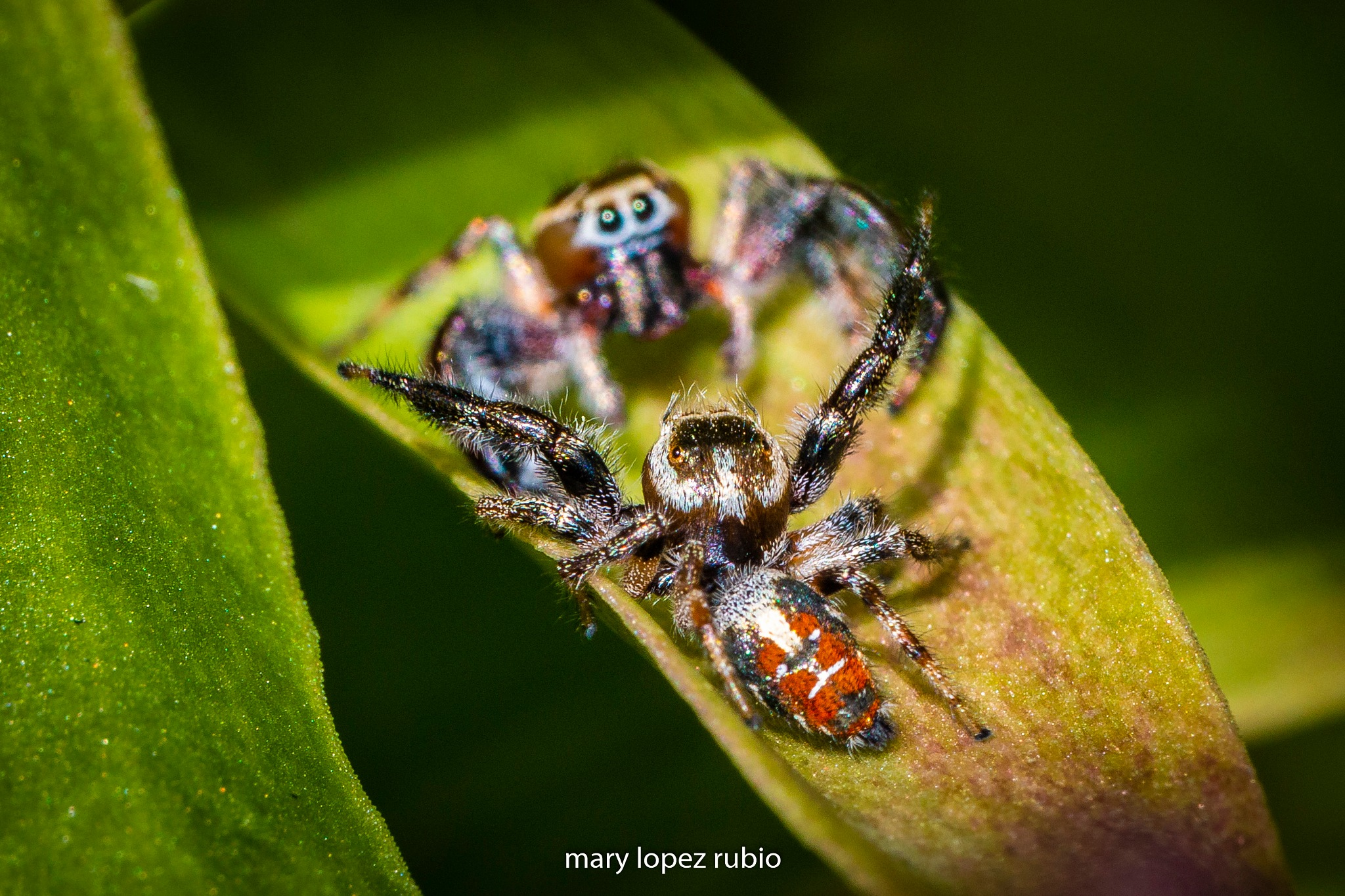 spider fight by Carmen