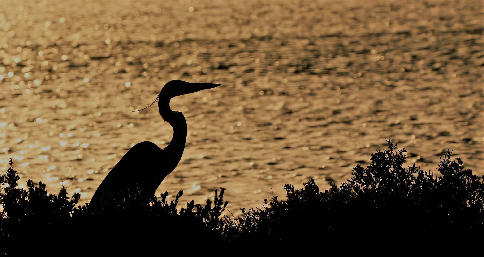 silhouette by Pelican