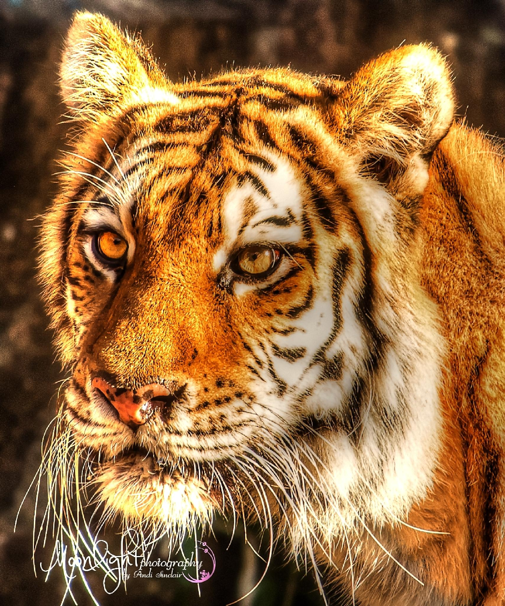 Tiger  River Banks Zoo  by Andi Sinclair