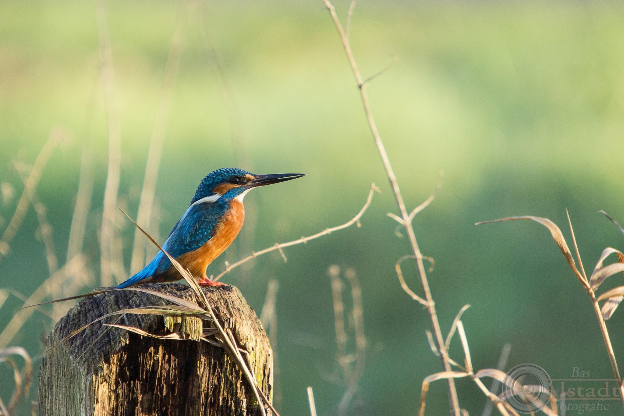 Alert Kingfisher by Bas Alstadt