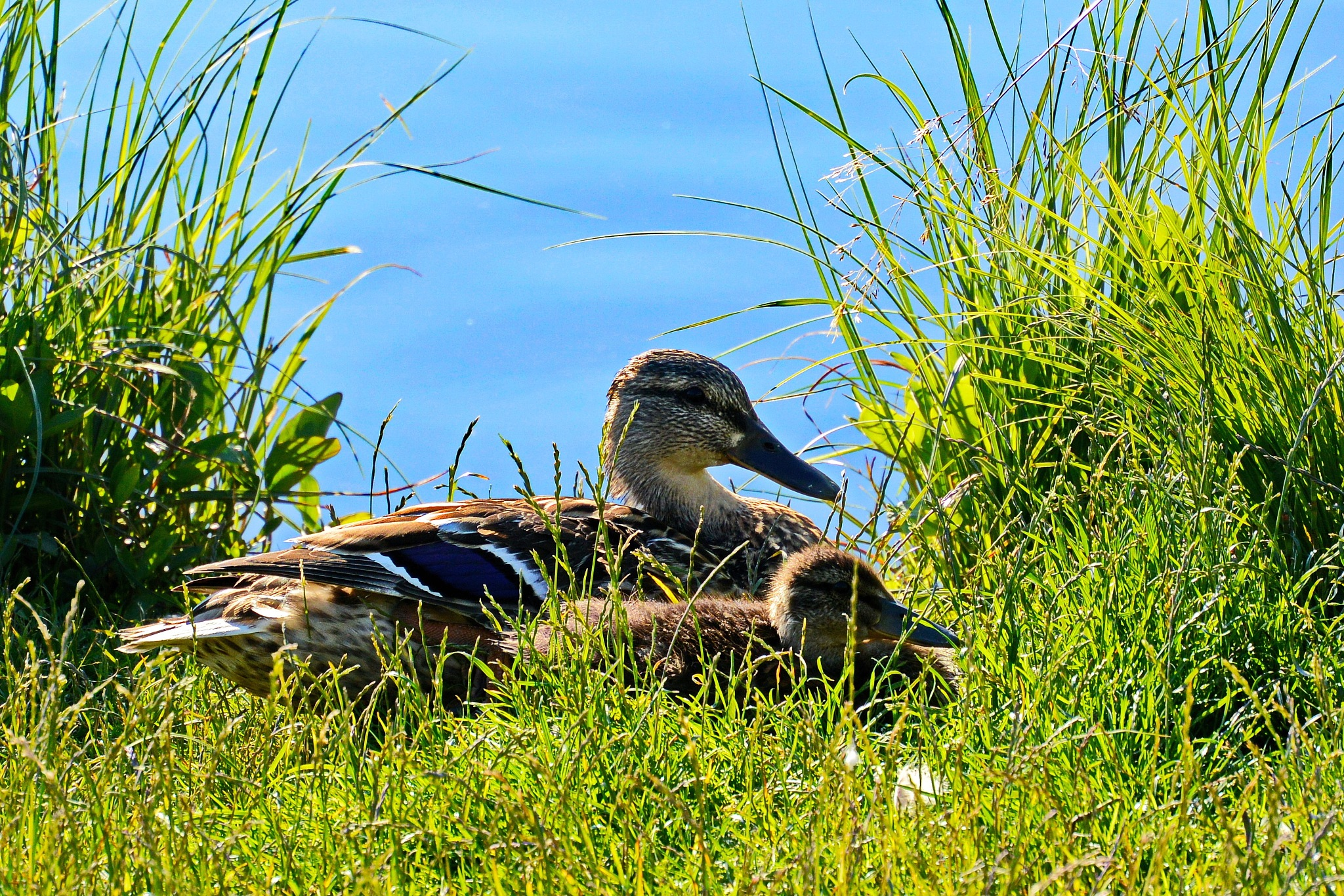 Ducklings with the kid, relaxing at the water's edge. by Per Molvik
