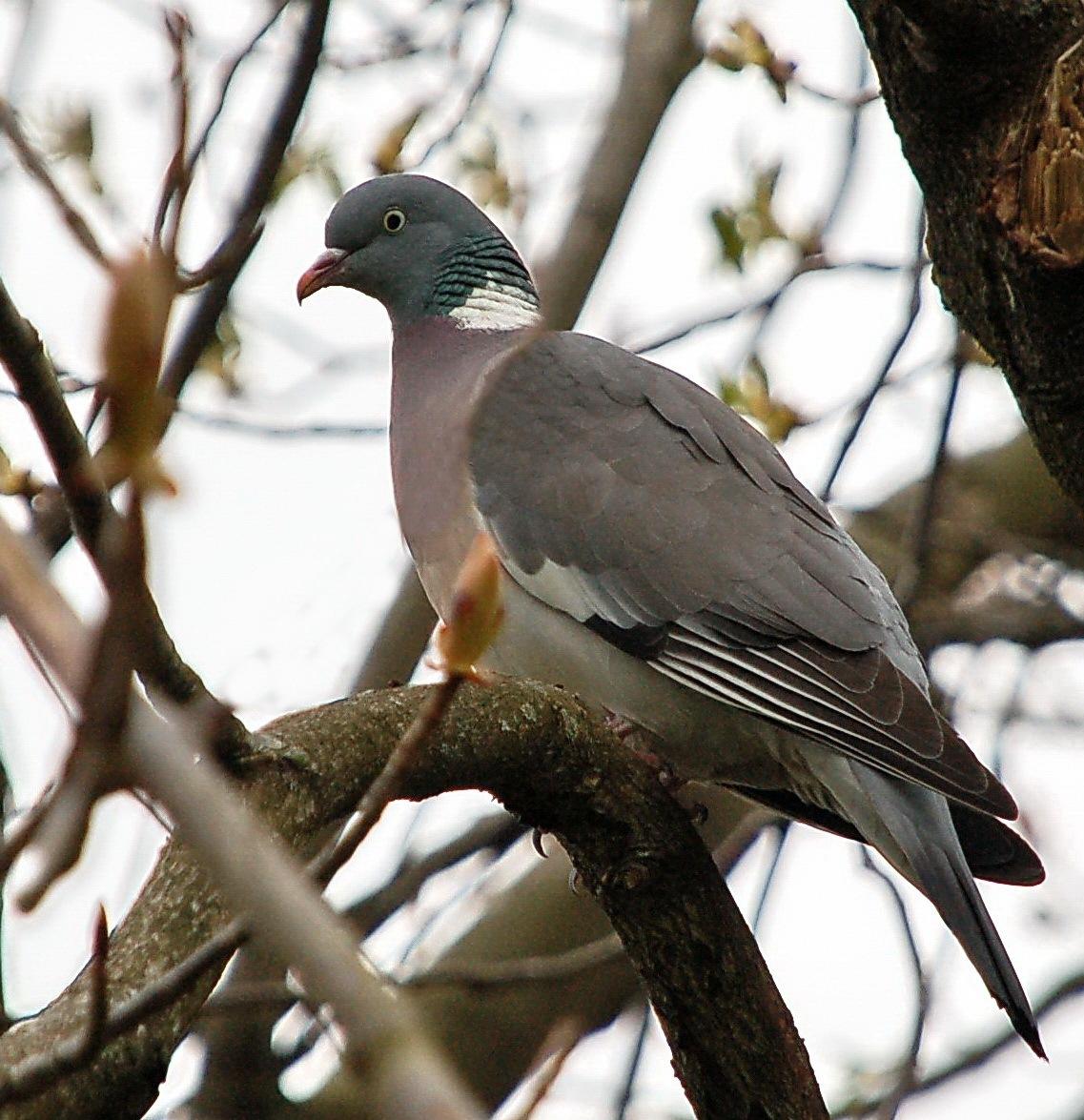Wood pigeon by Per Molvik