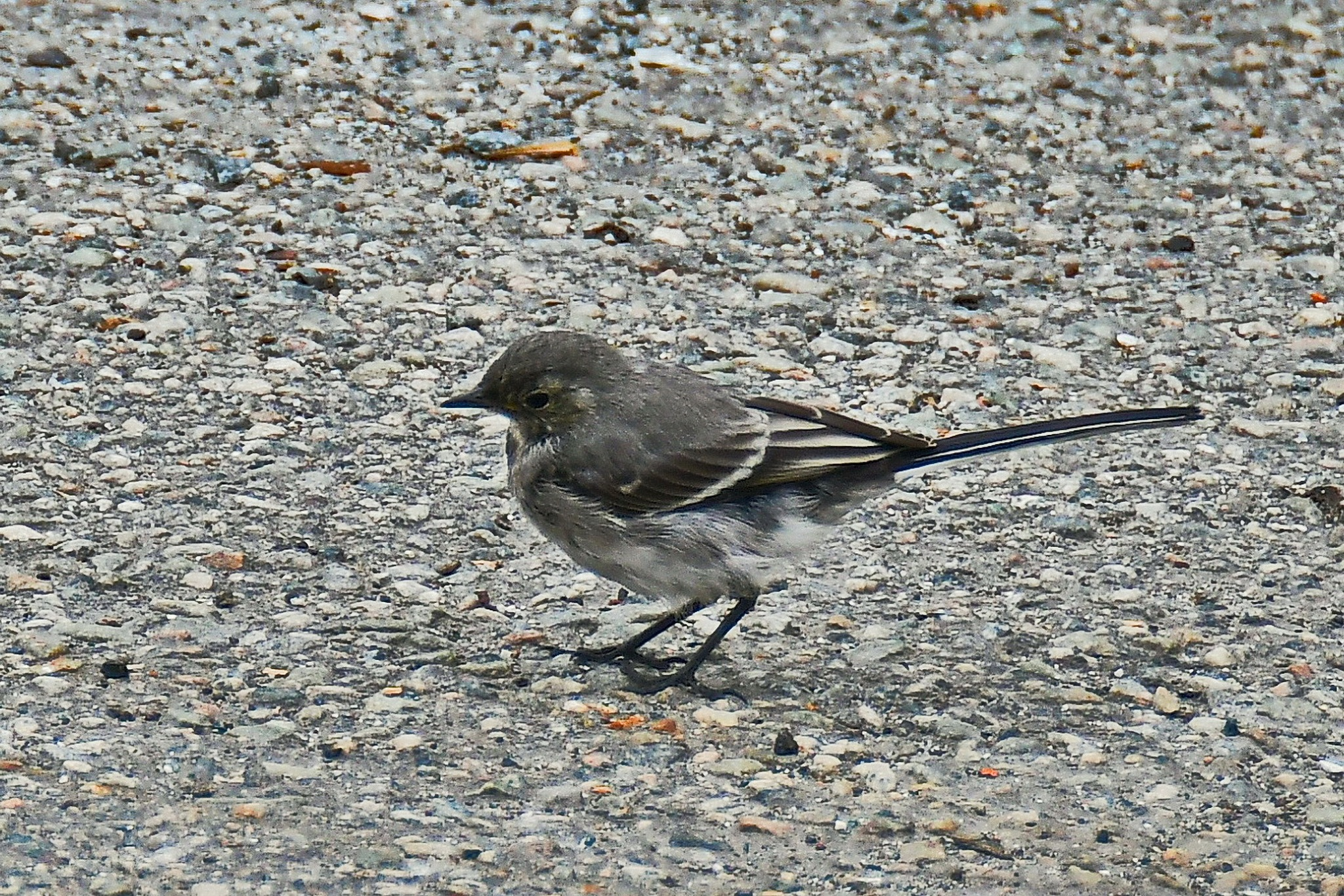 Wagtail,    youngsters by Per Molvik