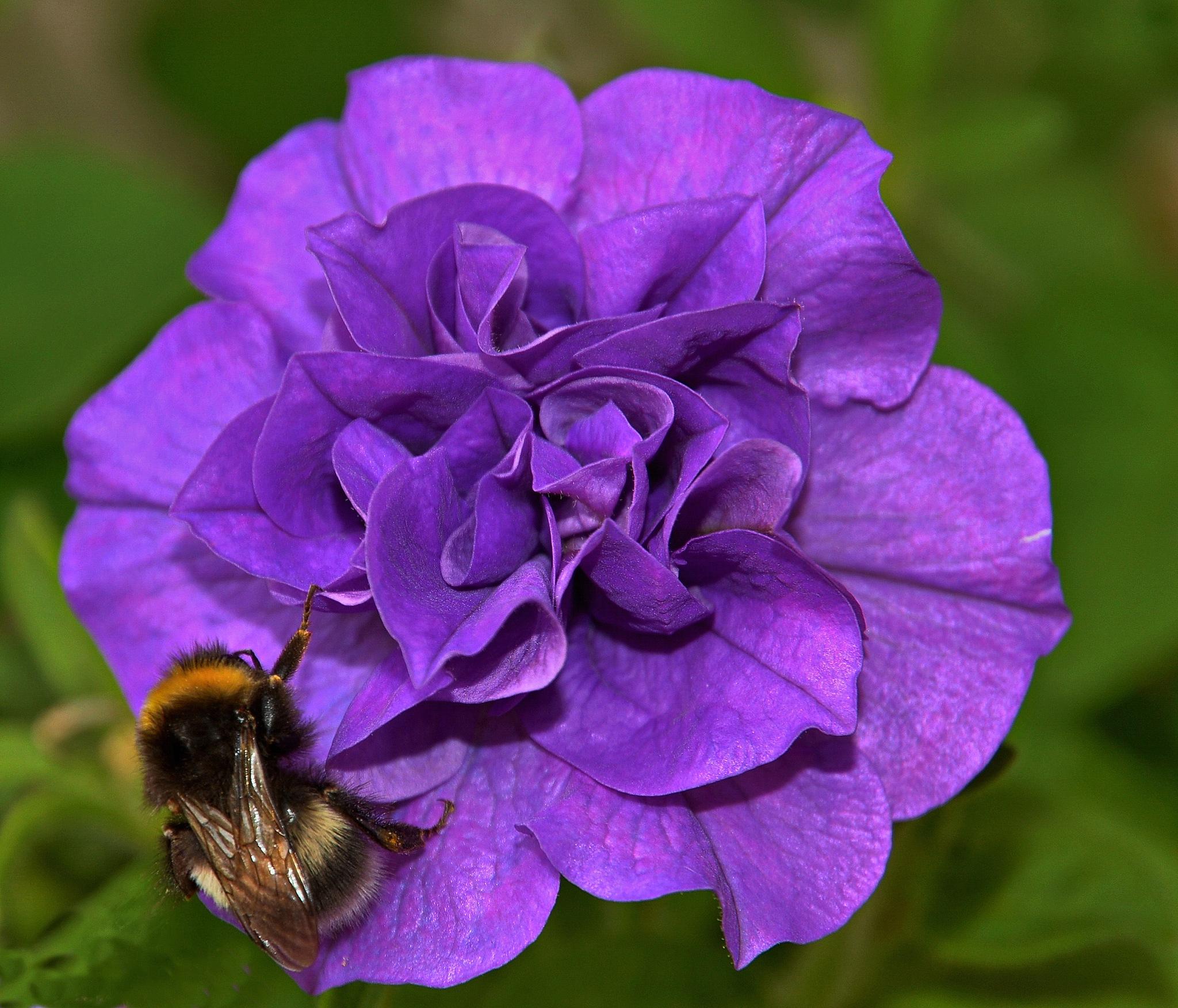 Bumblebee on flower by Per Molvik