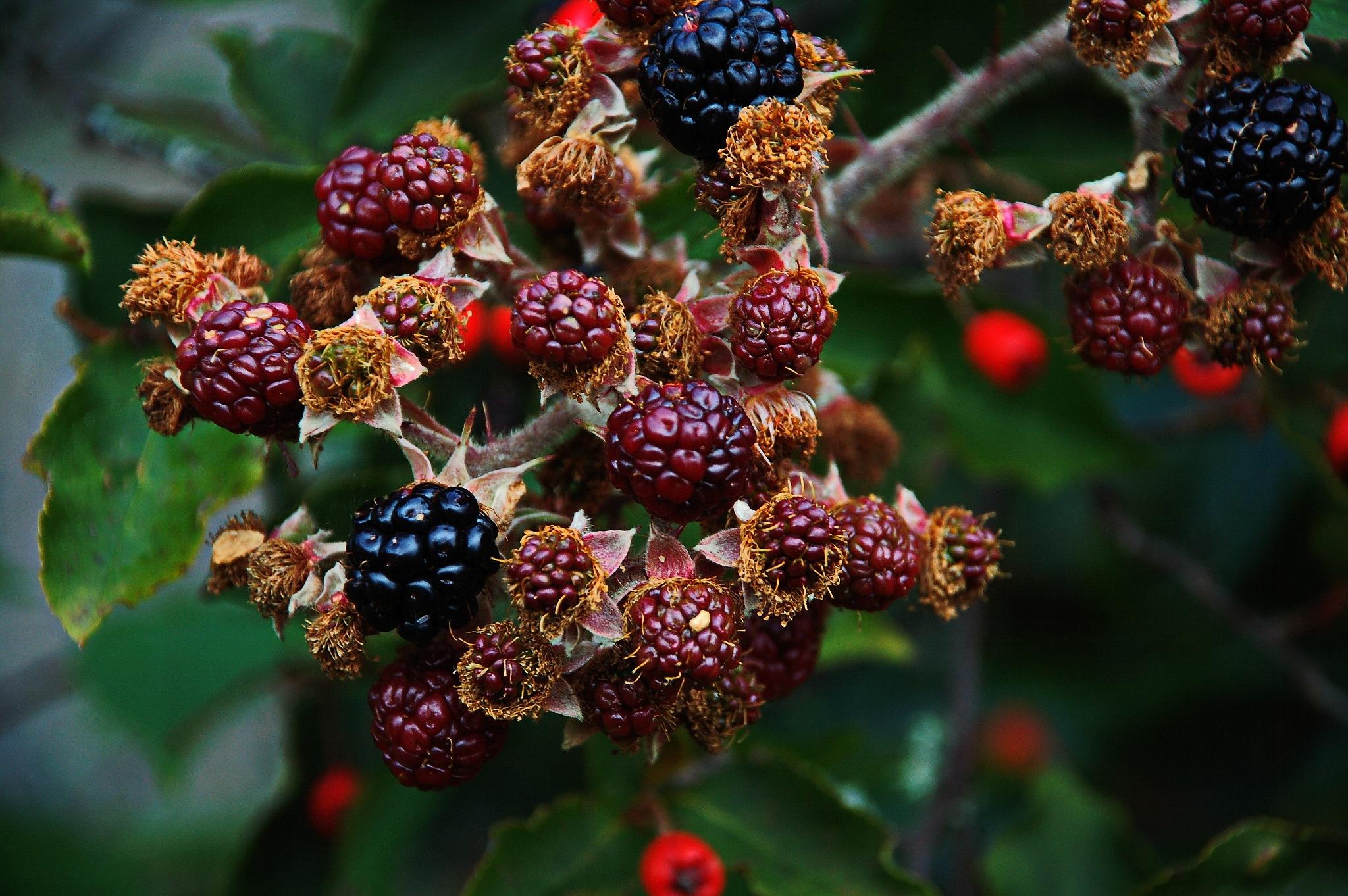 Blackberry by Per Molvik