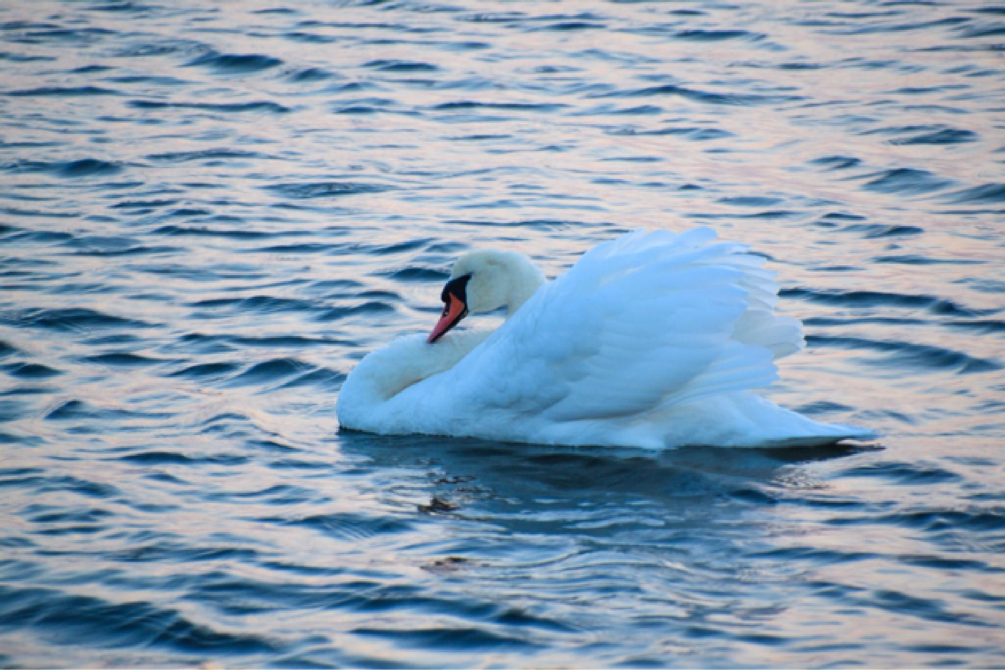 Swan by Lisa von Steijern