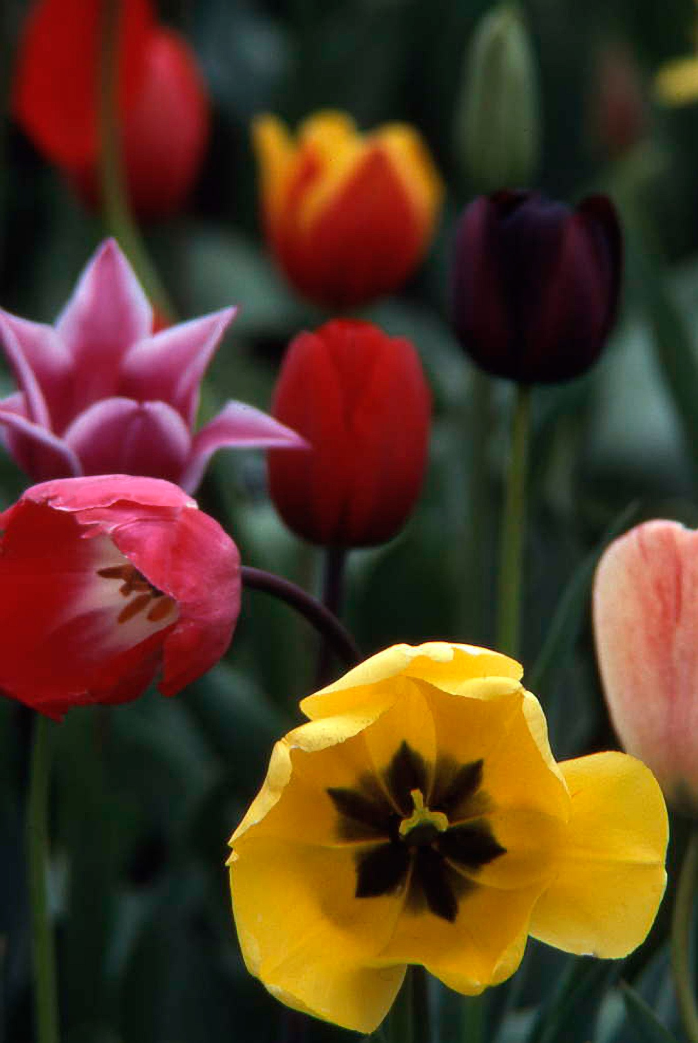 Tulips in the Garden by RenfroPhotography