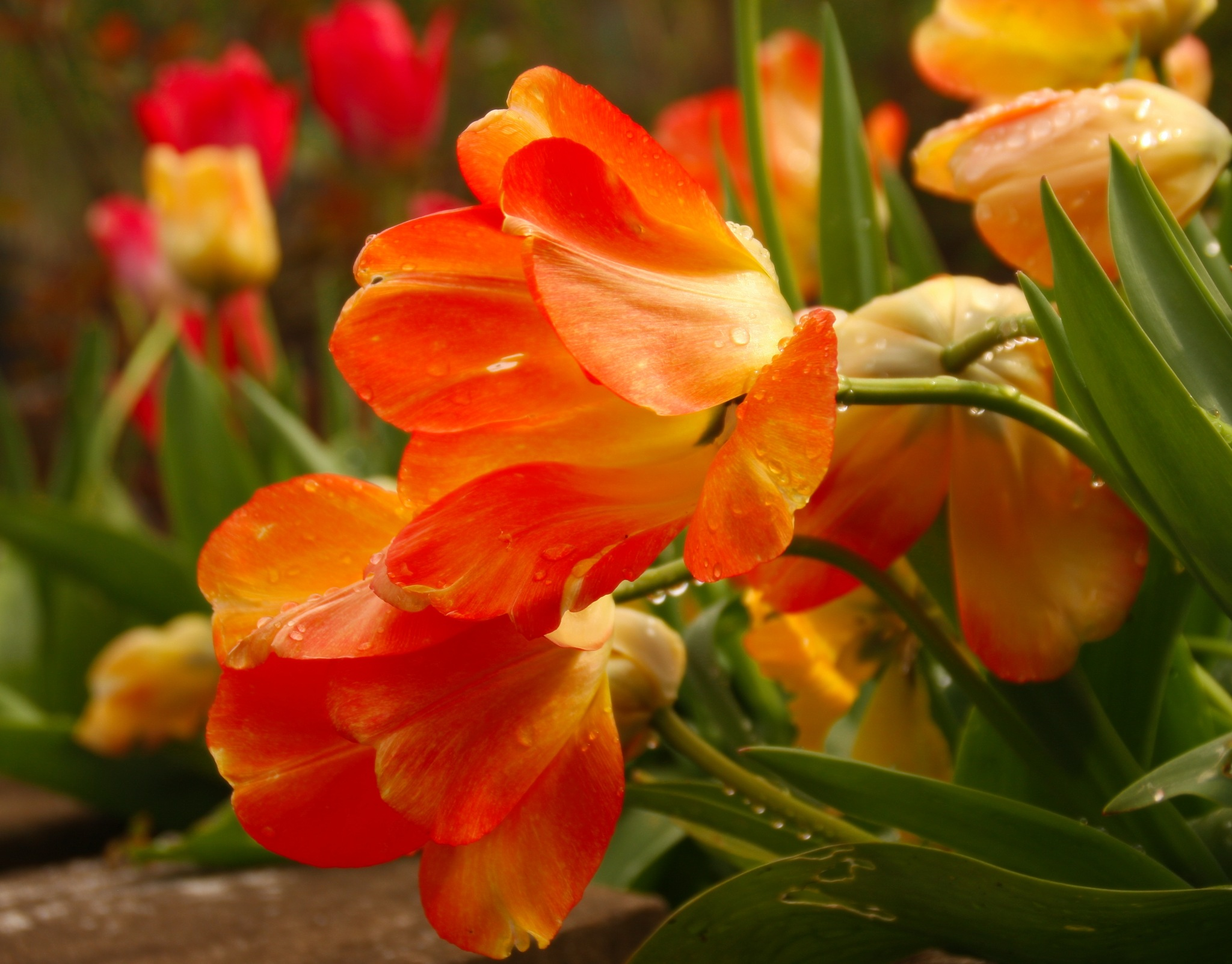 Orange Tulips after the rain by RenfroPhotography