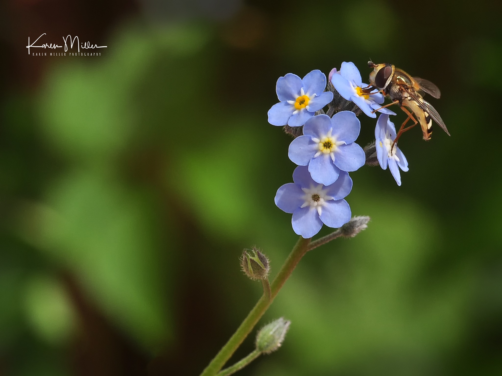 Hoverfly on Forget-Me-Not by kfjmillerphoto