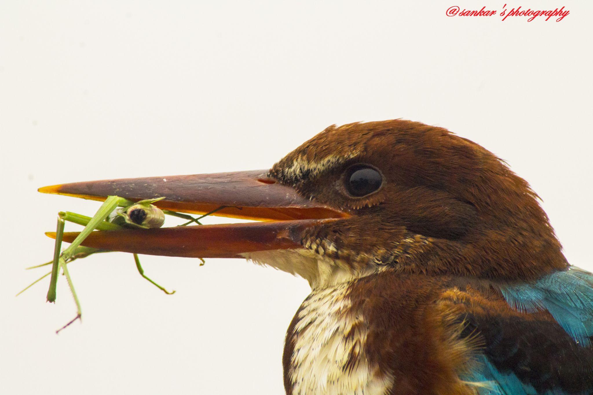 White Brested Kingfisher by Sankar Singha
