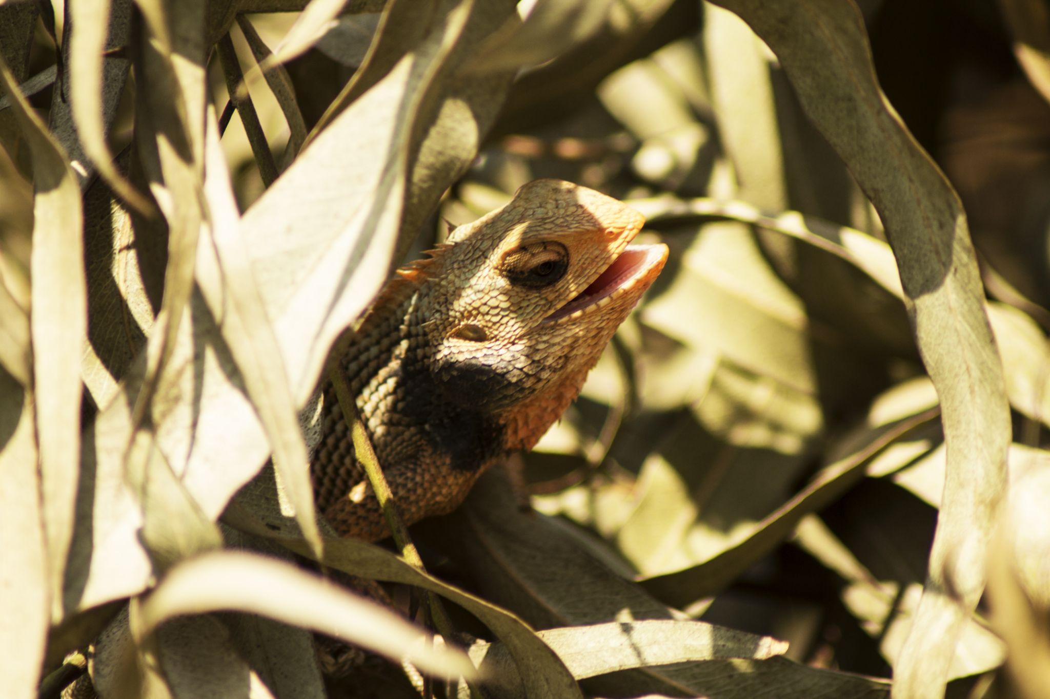 Oriental Garden Lizard by Sankar Singha