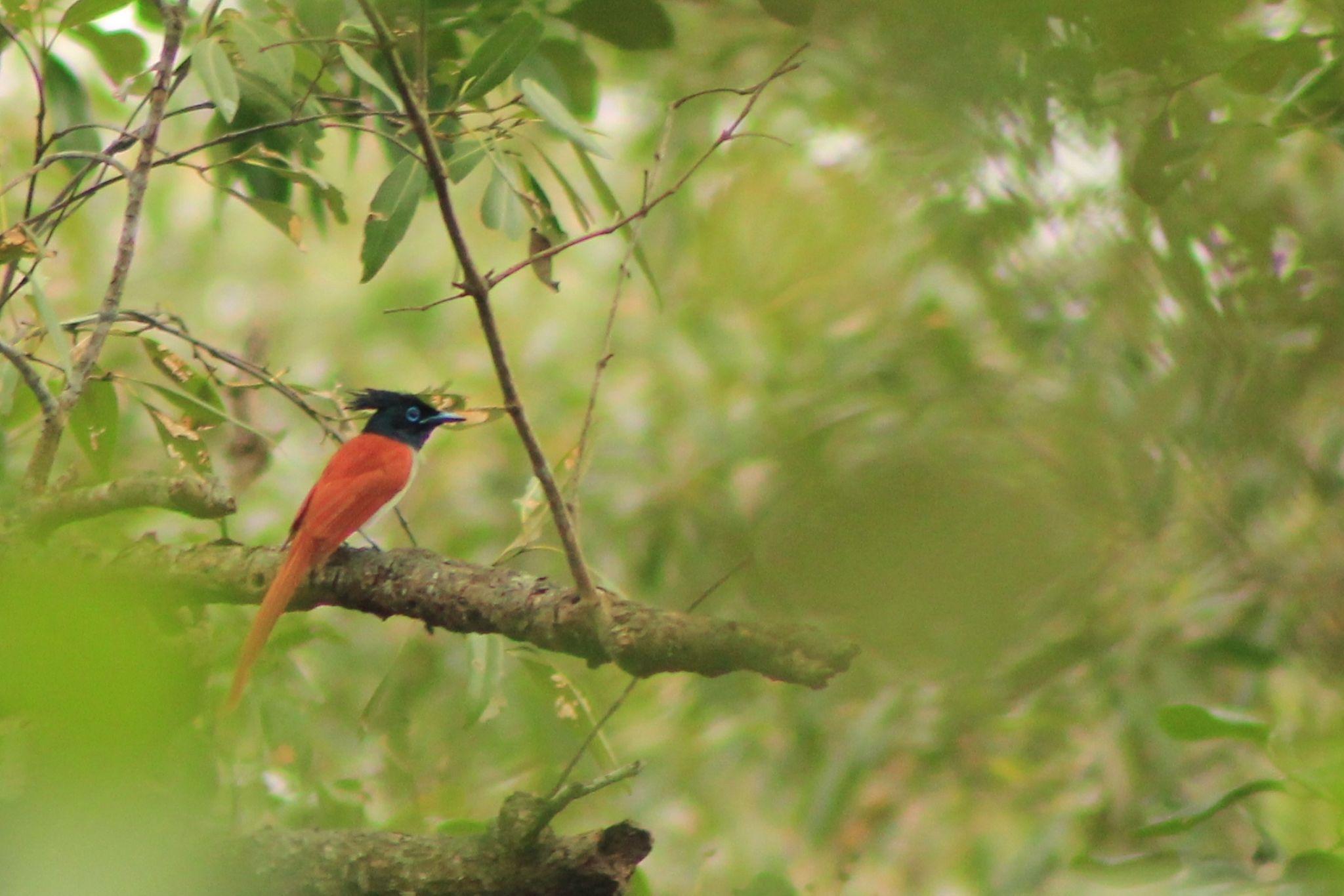 Asian Paradise Flycatcher  by Sankar Singha