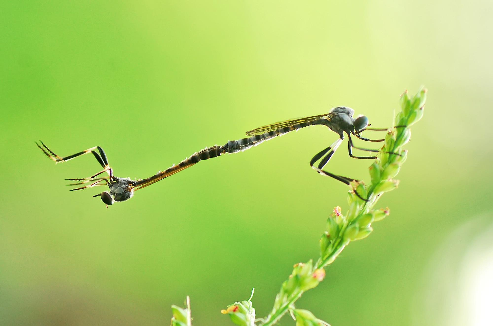 Robber fly,Asilidae,Mating by ujangwahyudin