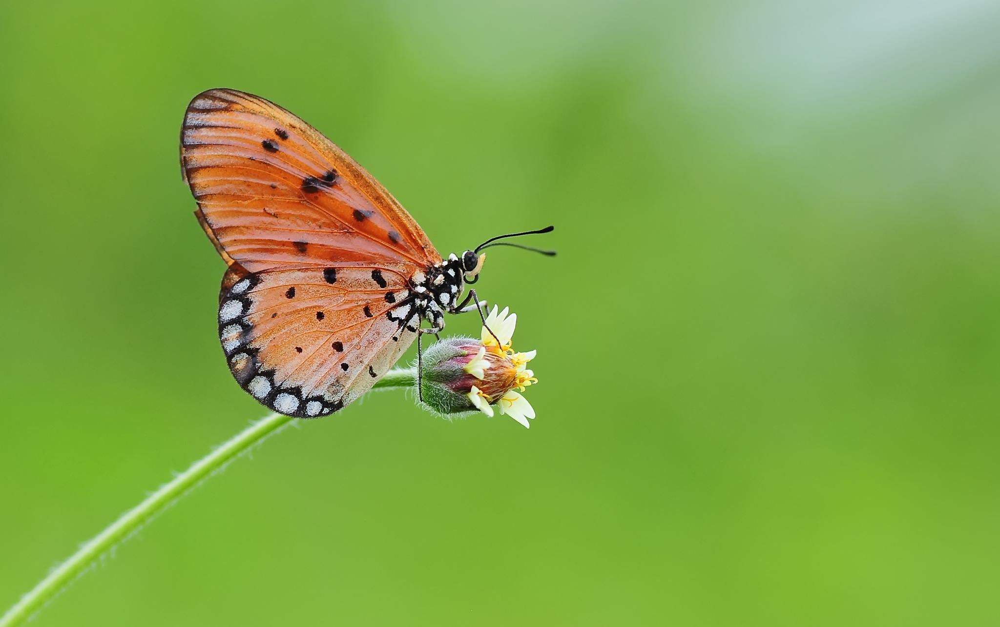Butterfly by ujangwahyudin