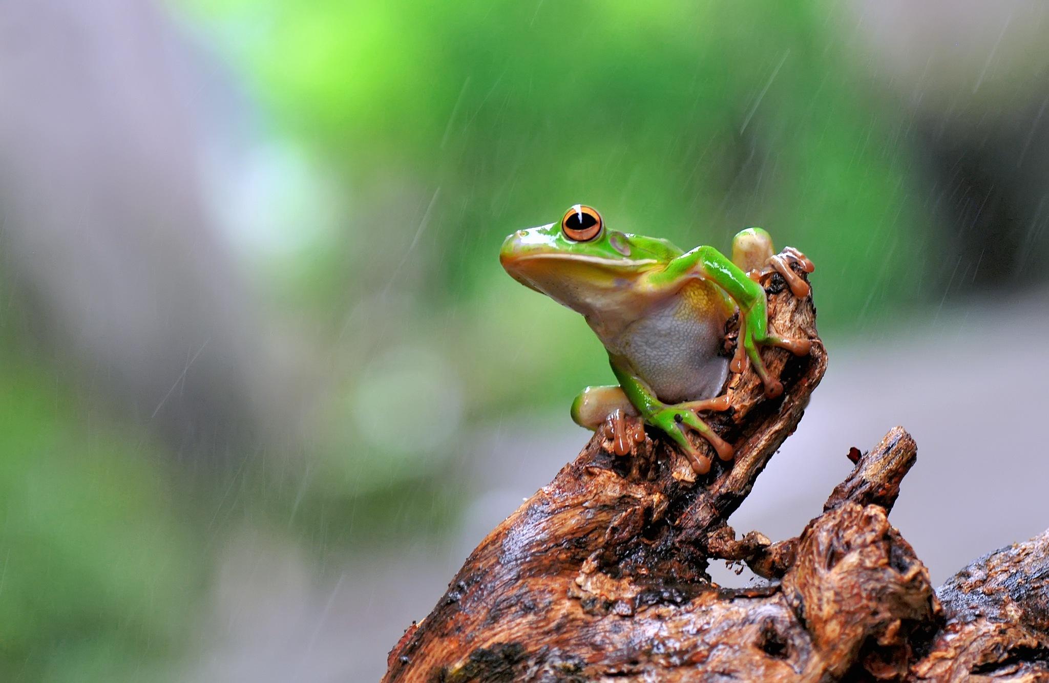 Frog,Dumpy Frog, by ujangwahyudin