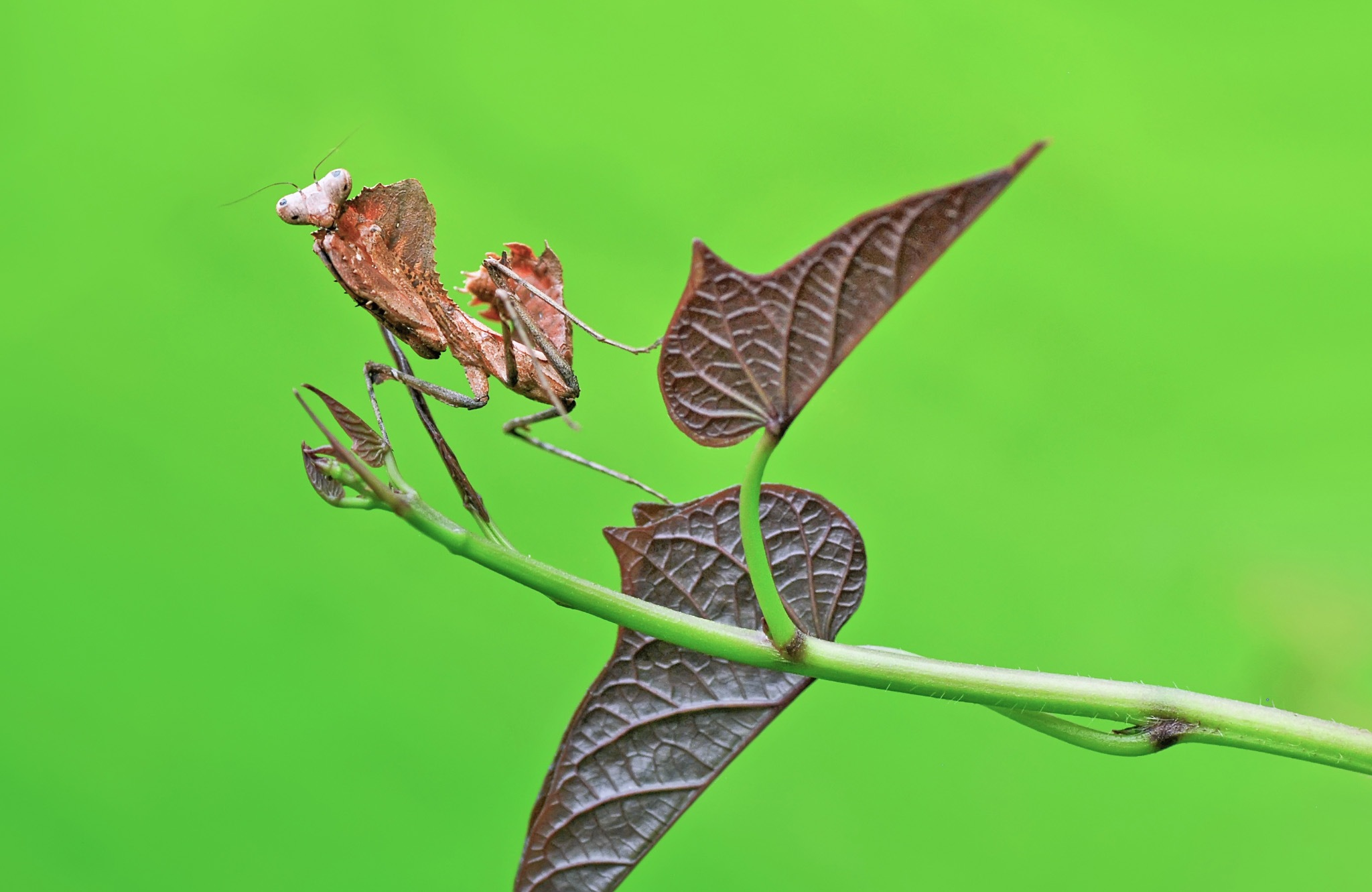 Mantis Cobra, by ujangwahyudin