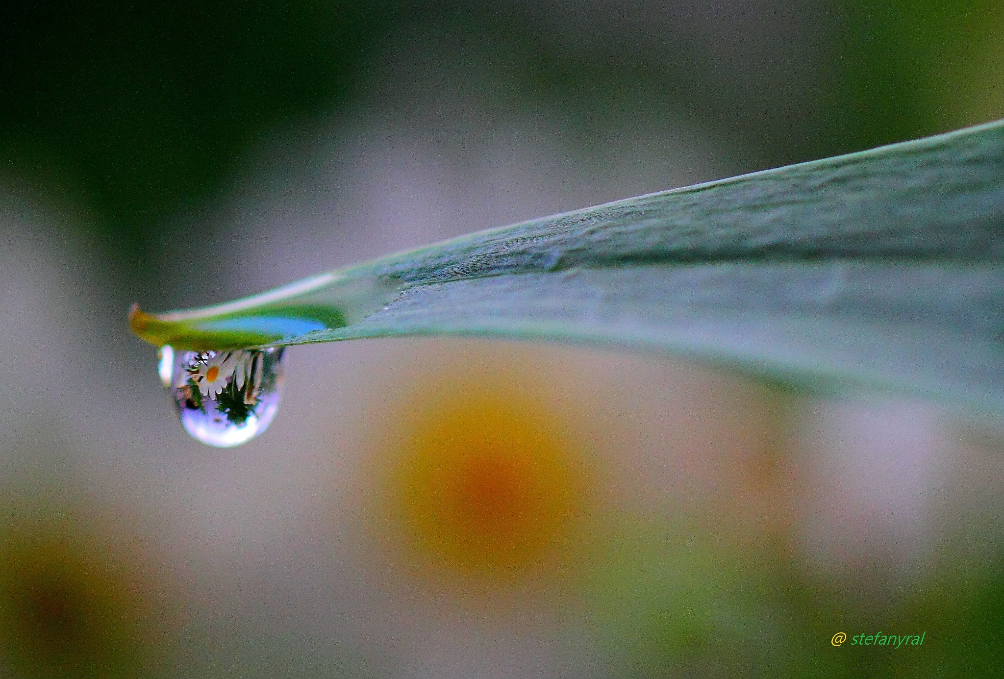 Daisy drop by stefanyral