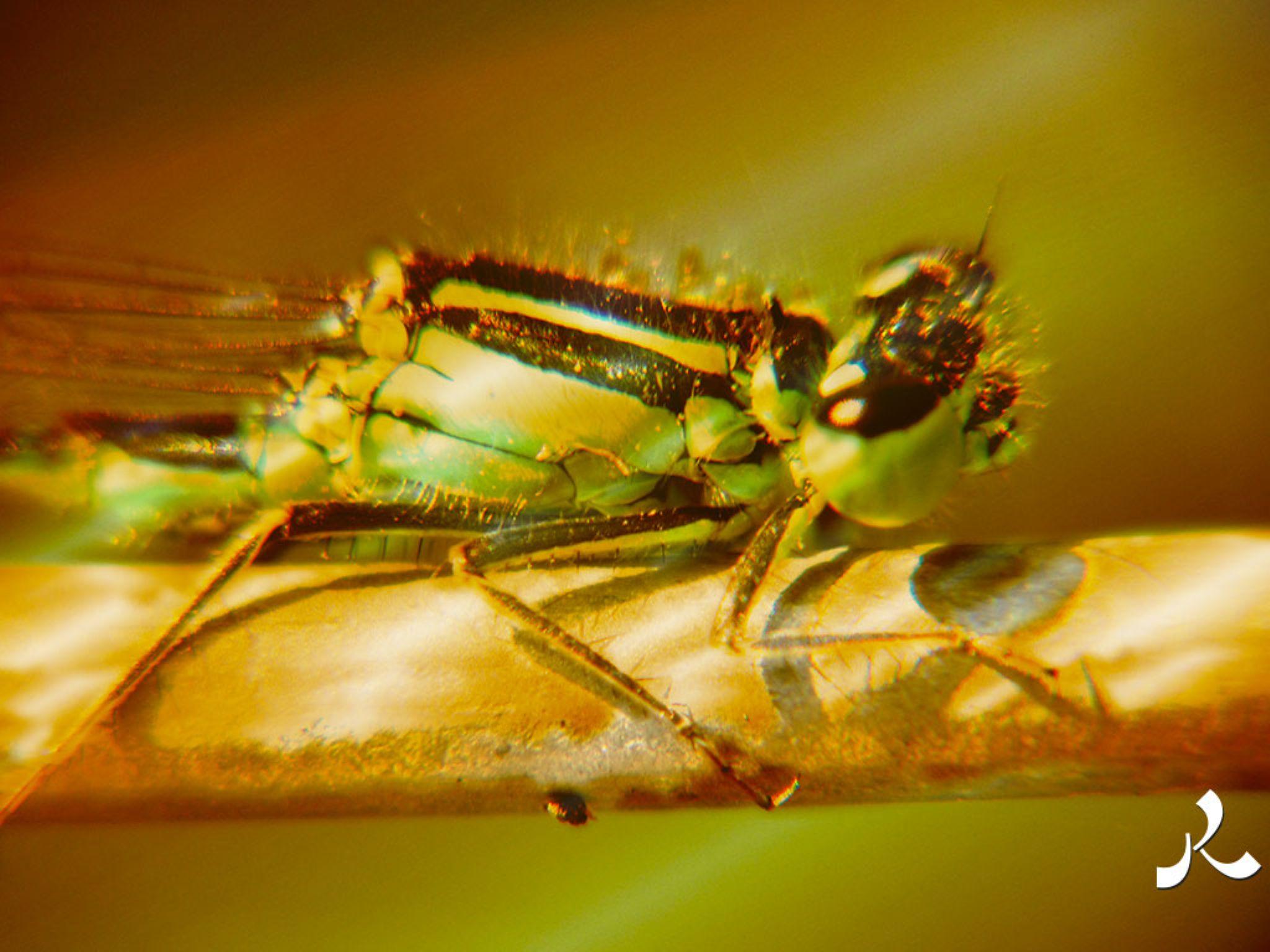 dragonfly145-15iwor by Raffin