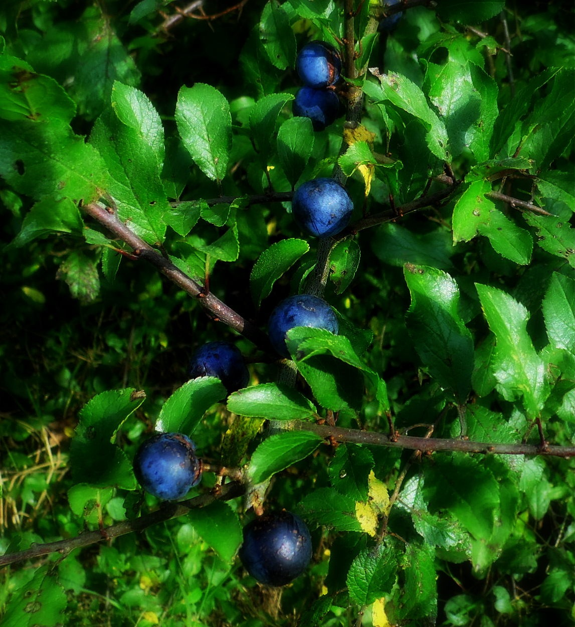 Blue Berry by shelley22