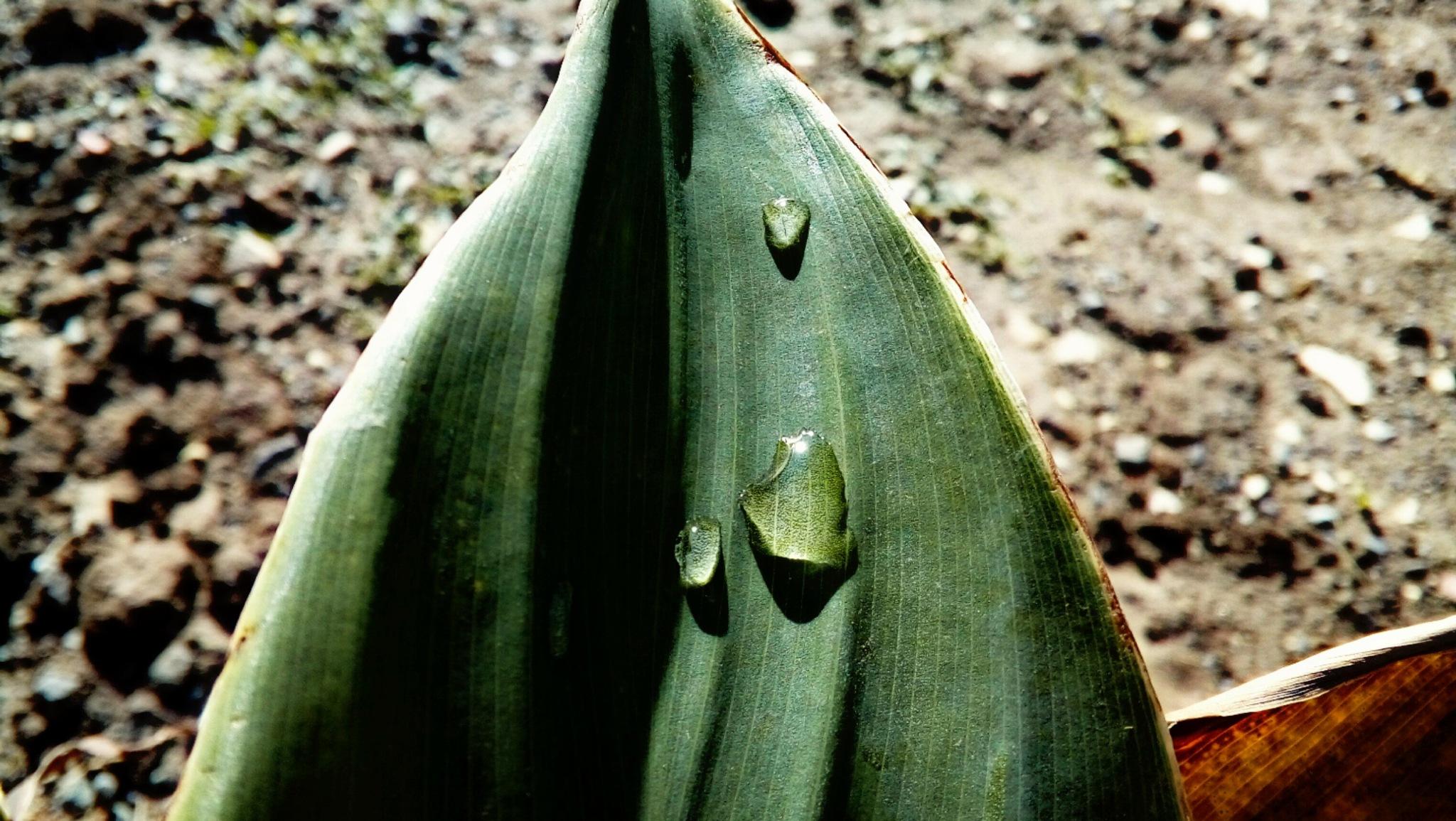 Droplets on leaves by Ana-Marija Veg
