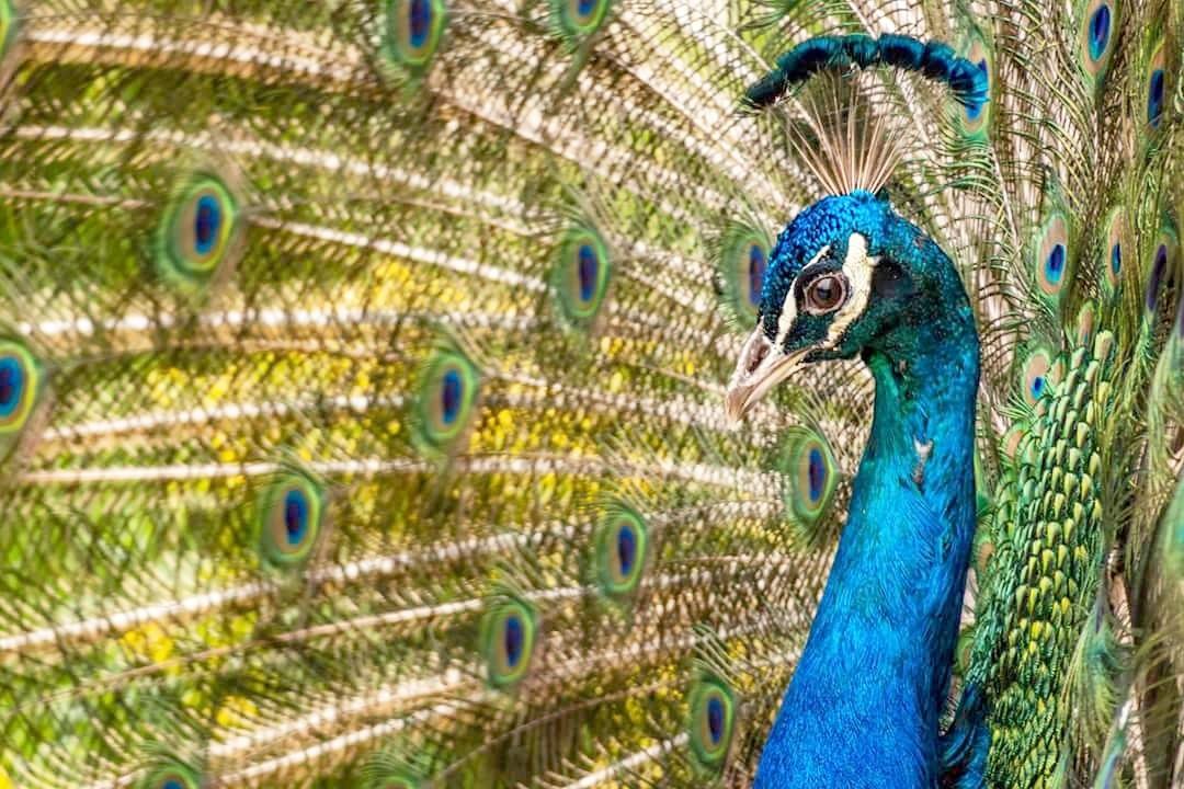 peacock by Yılmaz Savaş Kandağ