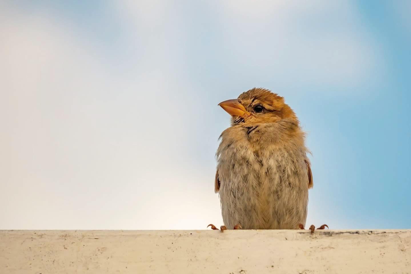 little sparrow  by Yılmaz Savaş Kandağ