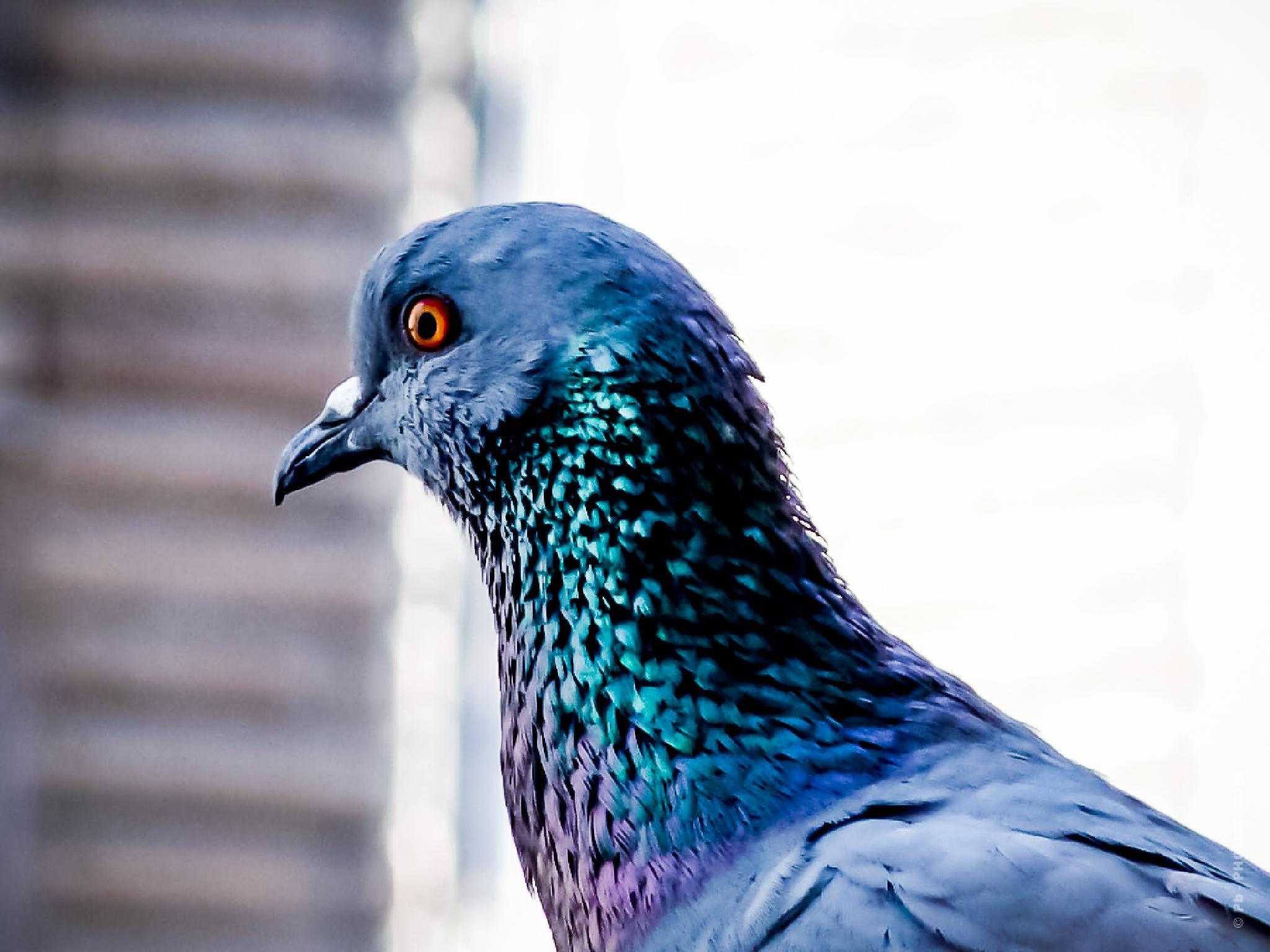 Blue Rock Pigeon  by Pb - PHOTOS