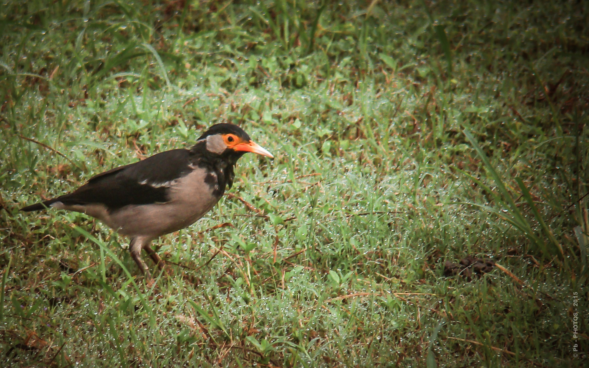 313 - Common Myna & dew drops - Nature by Pb - PHOTOS