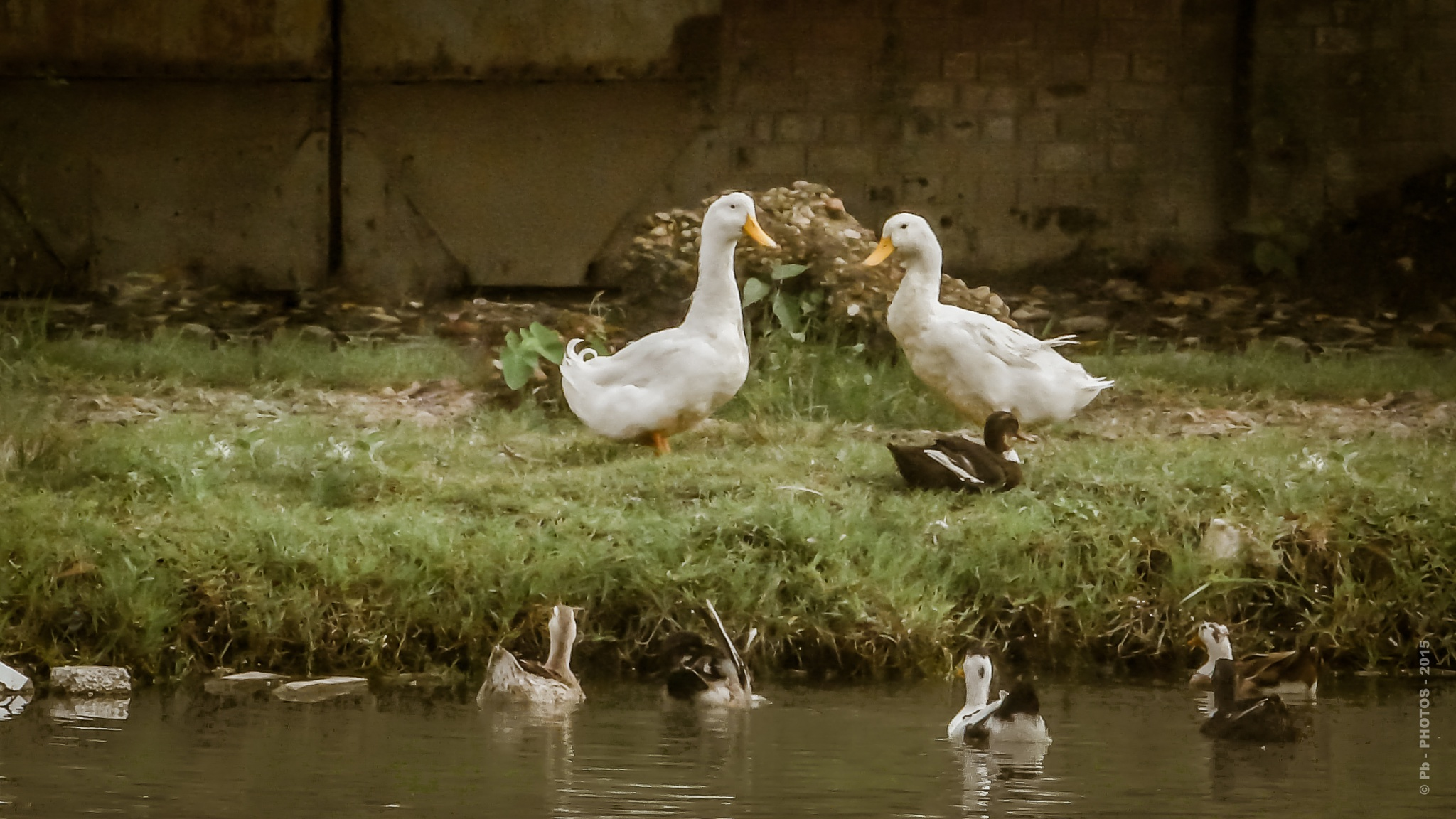 319 - Duck Family - Animal by Pb - PHOTOS