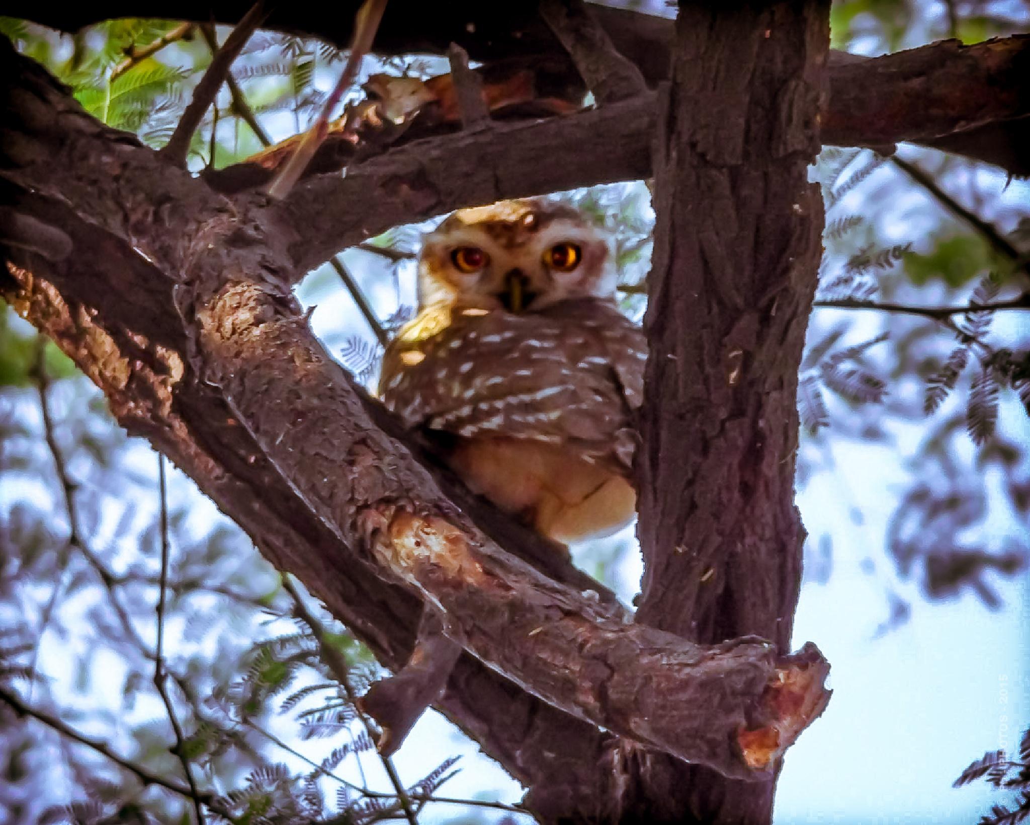 365 - Portrait of an Owl - Animal by Pb - PHOTOS