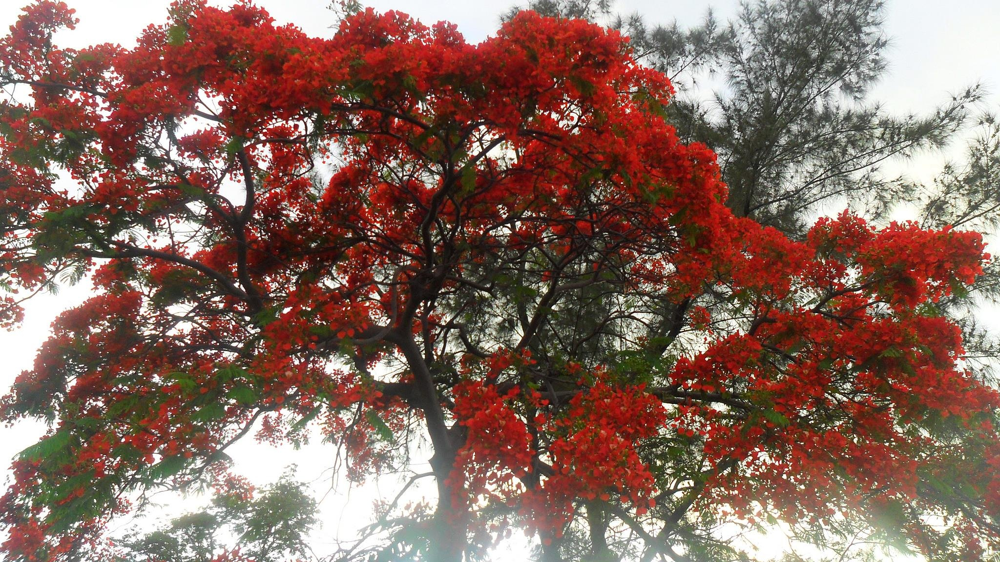 The flamboyan tree by lauretthierry974