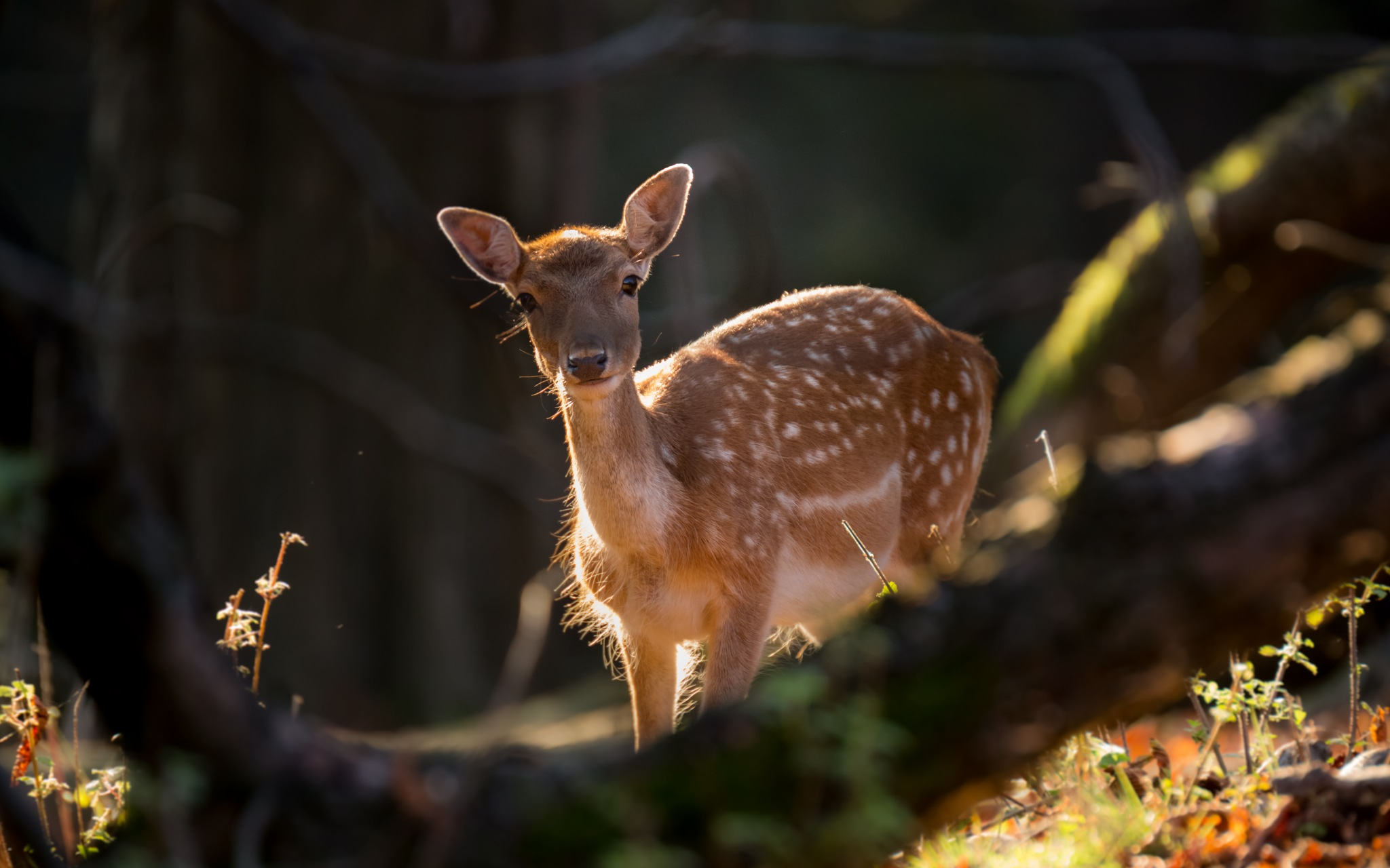young lady fallow deer by svatopluklev