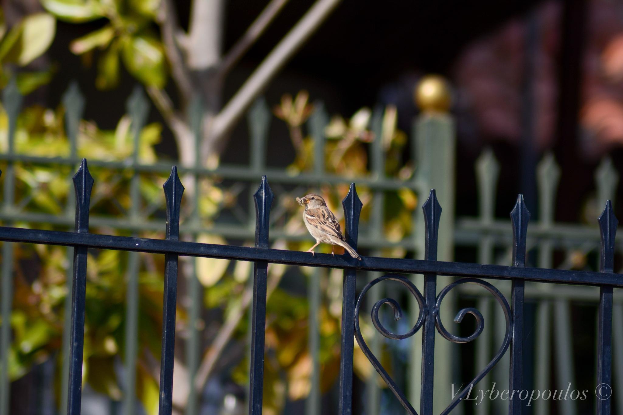 Sparrow by VL.P