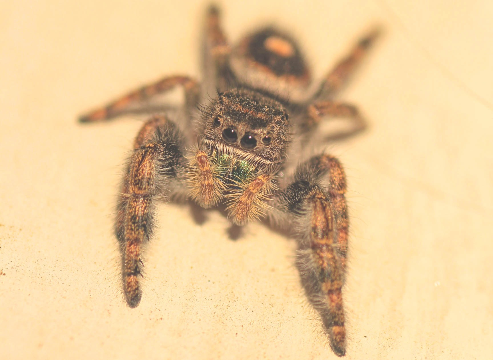 jumping spider by Bruce Potts