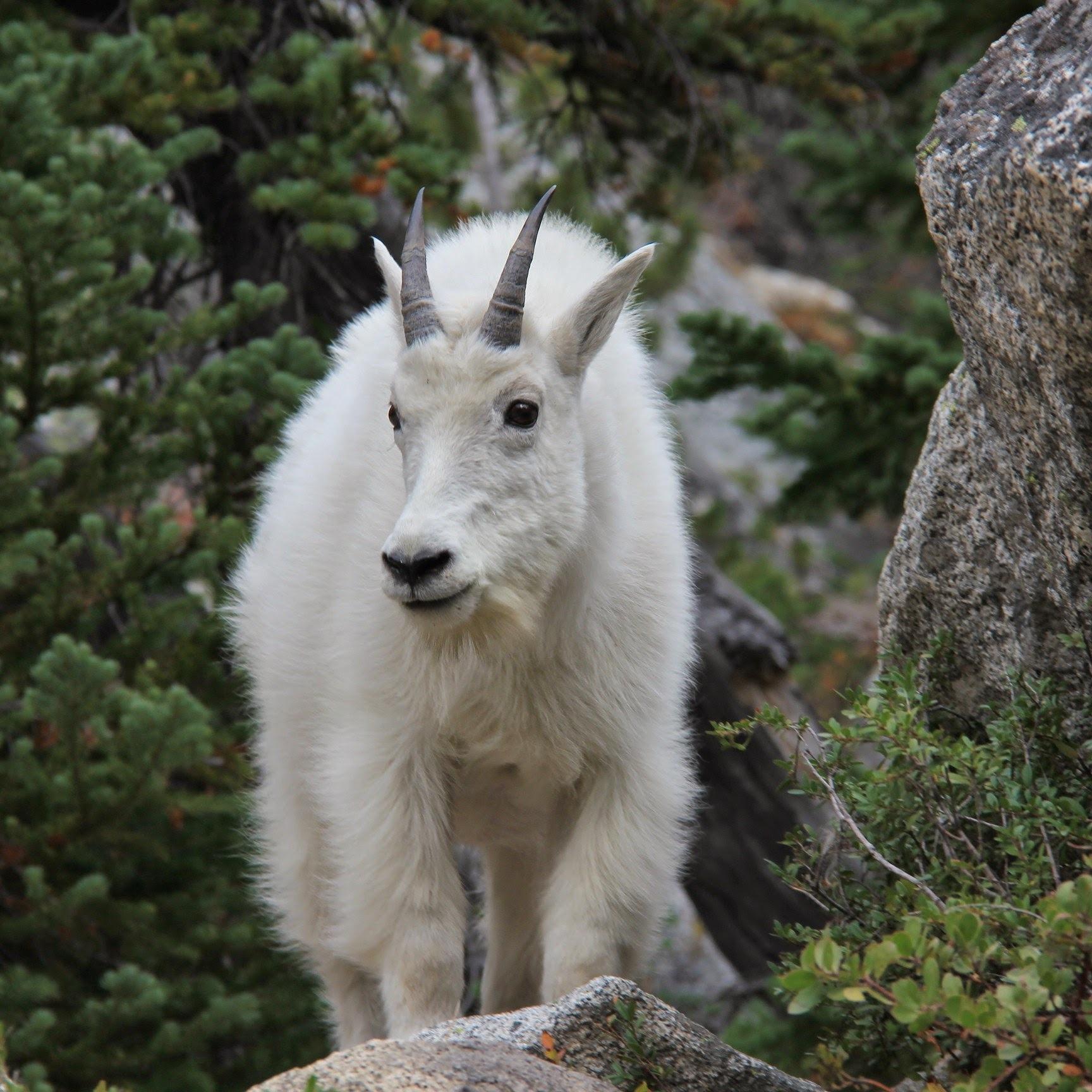 Mountain Goat by Bruce Potts