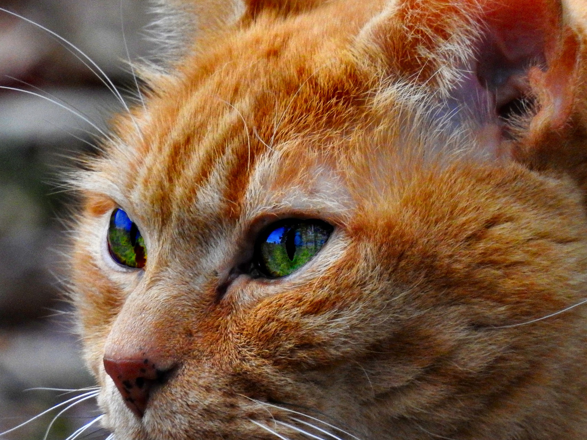 Cider, my Orange Tabby Cat by Patty Stockton