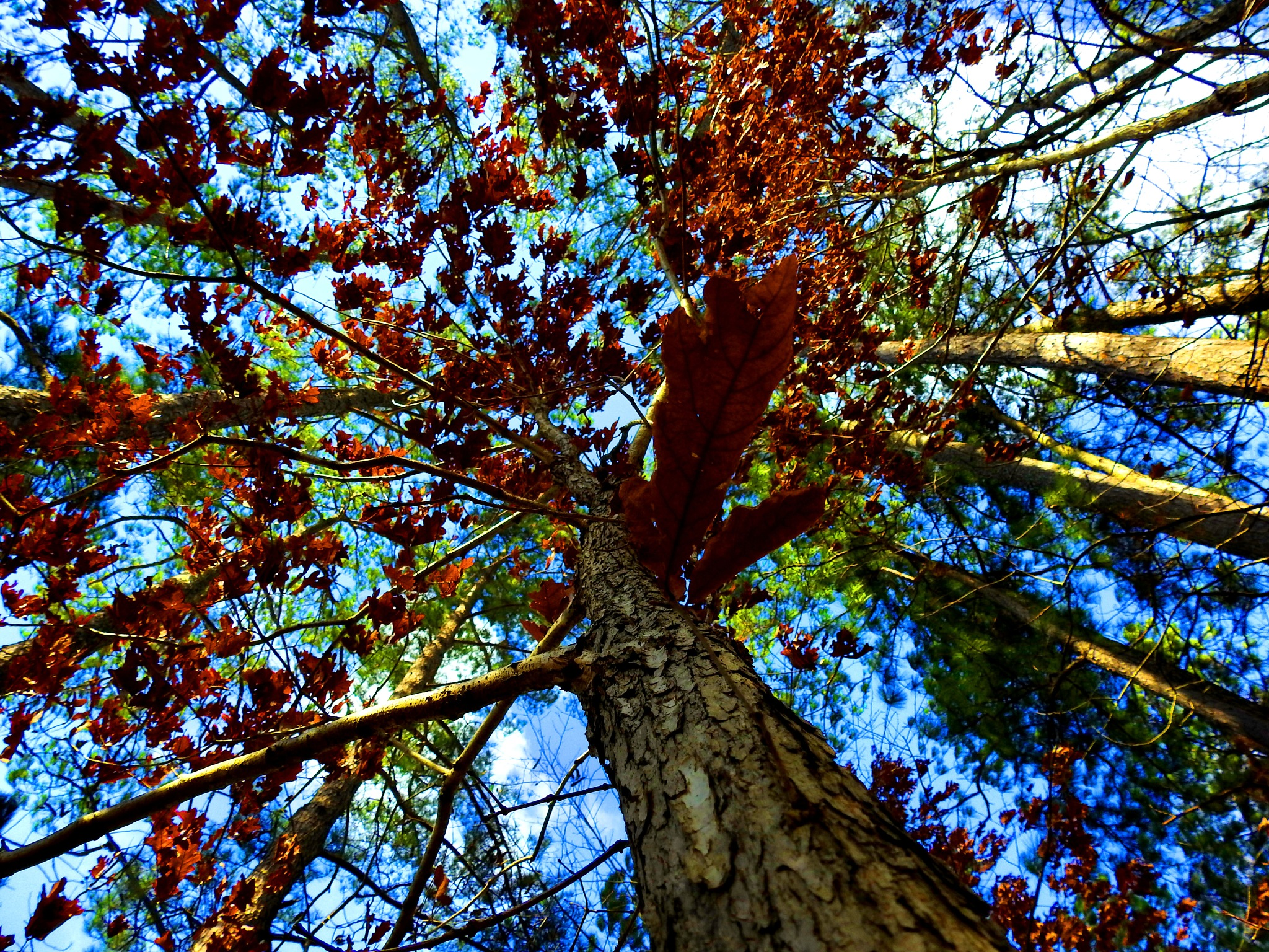Oaks and Pines by Patty Stockton