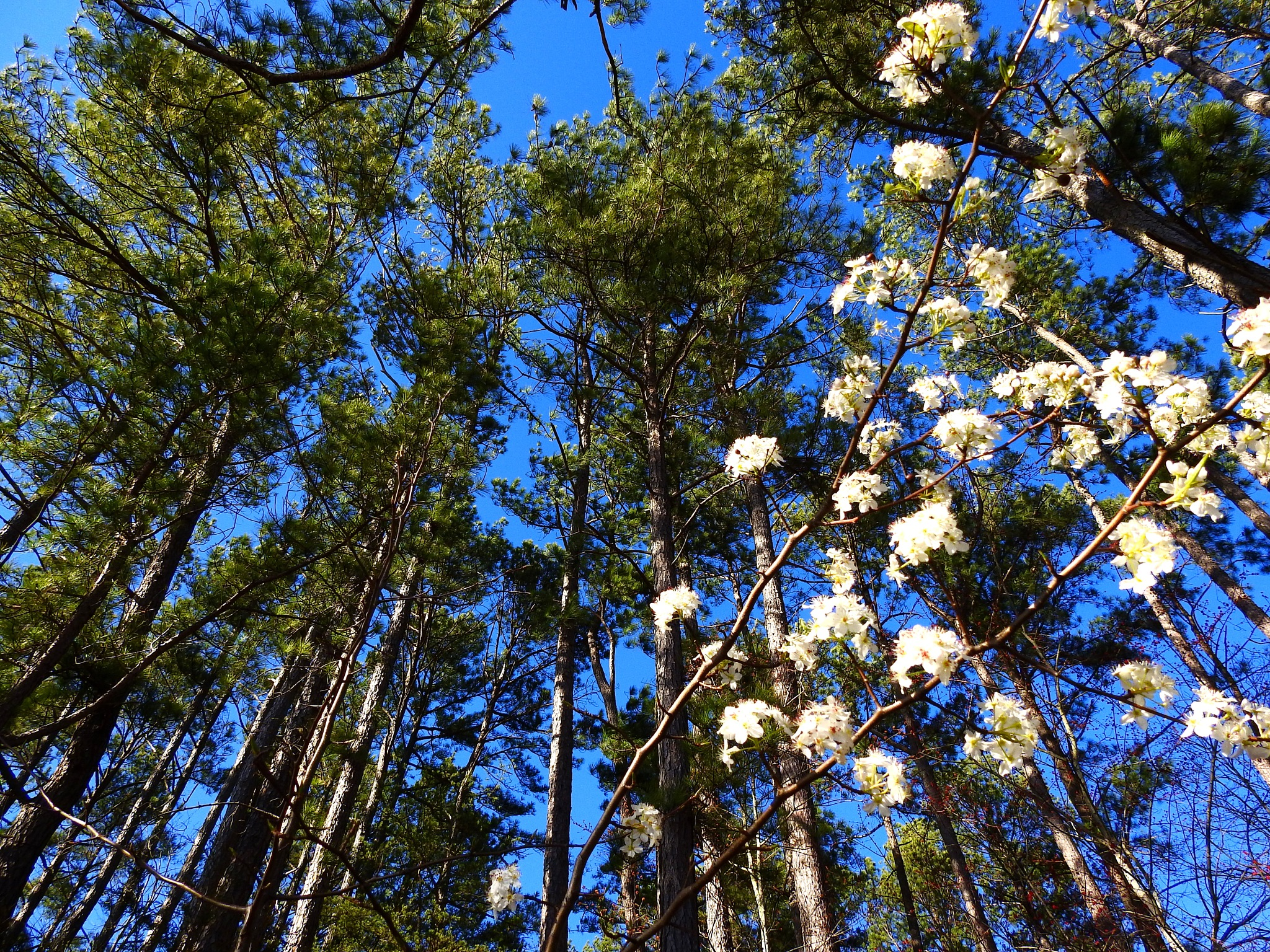 Flowering Tree in the Pines by Patty Stockton